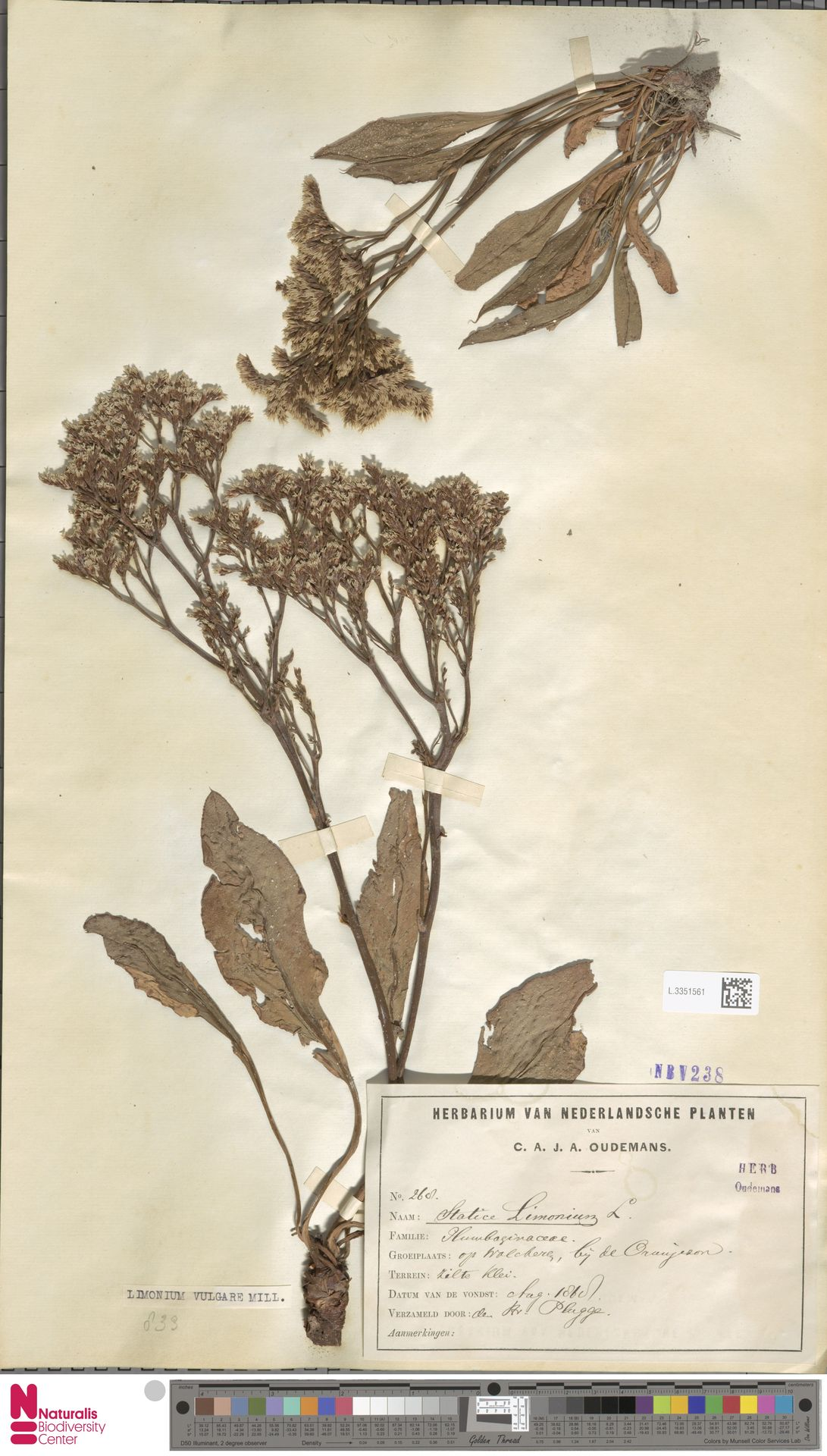 L.3351561 | Limonium vulgare Mill.