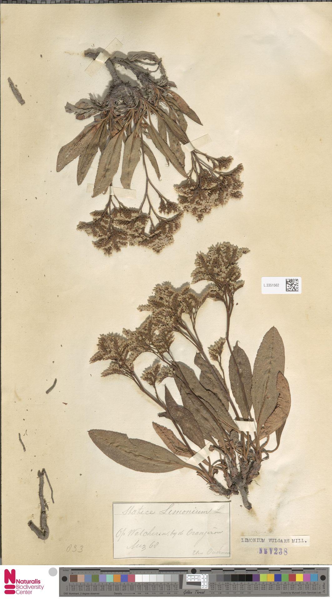 L.3351562 | Limonium vulgare Mill.