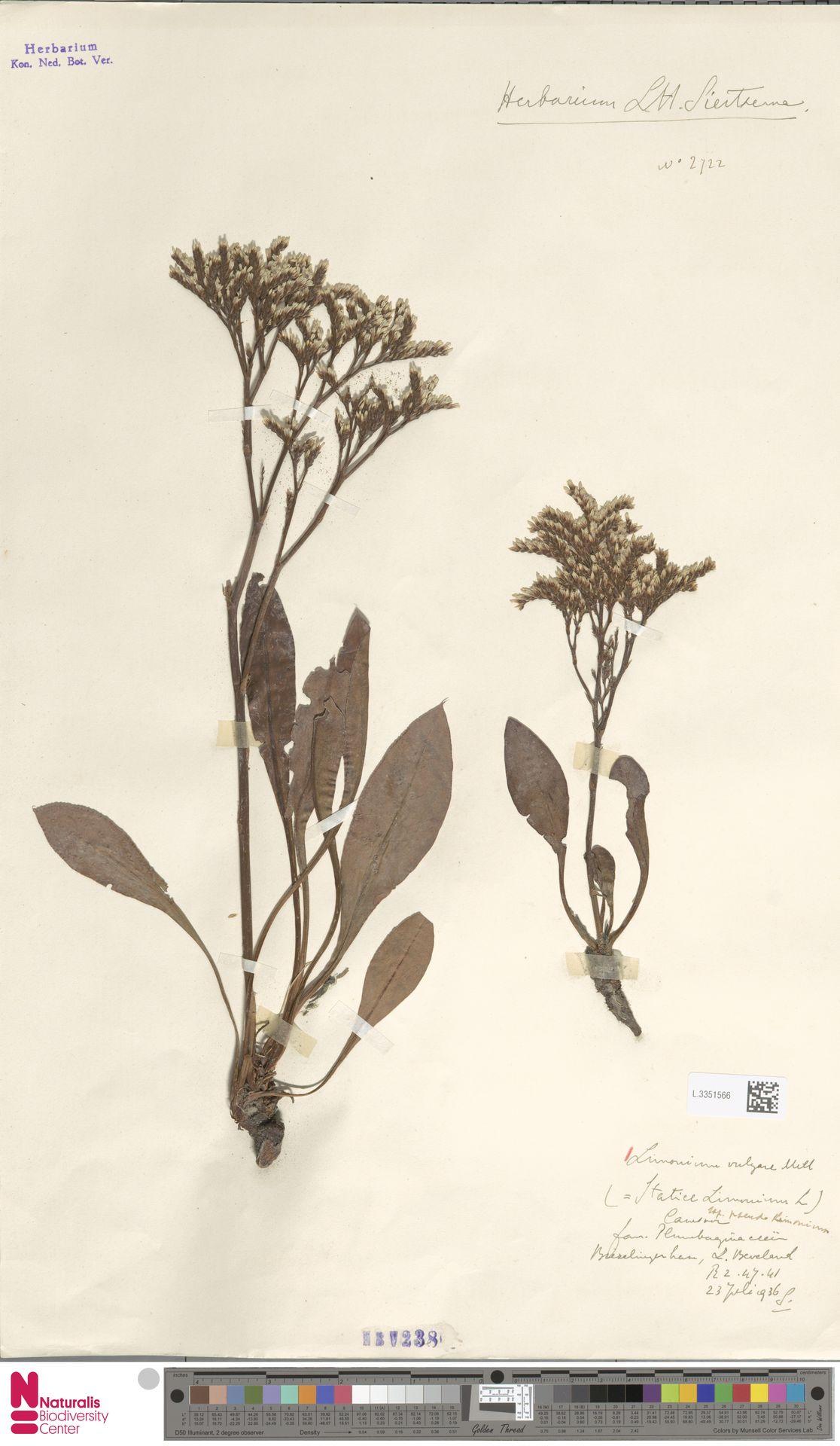 L.3351566 | Limonium vulgare Mill.