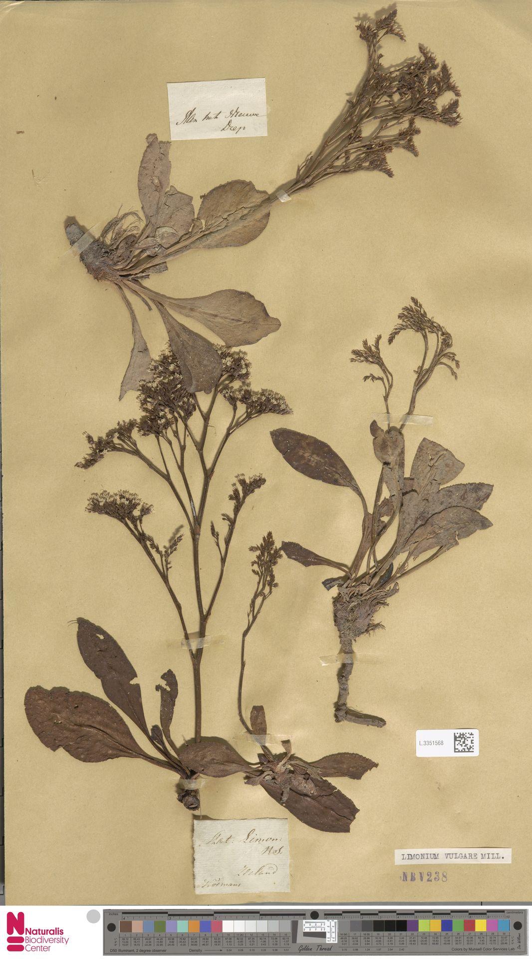 L.3351568 | Limonium vulgare Mill.