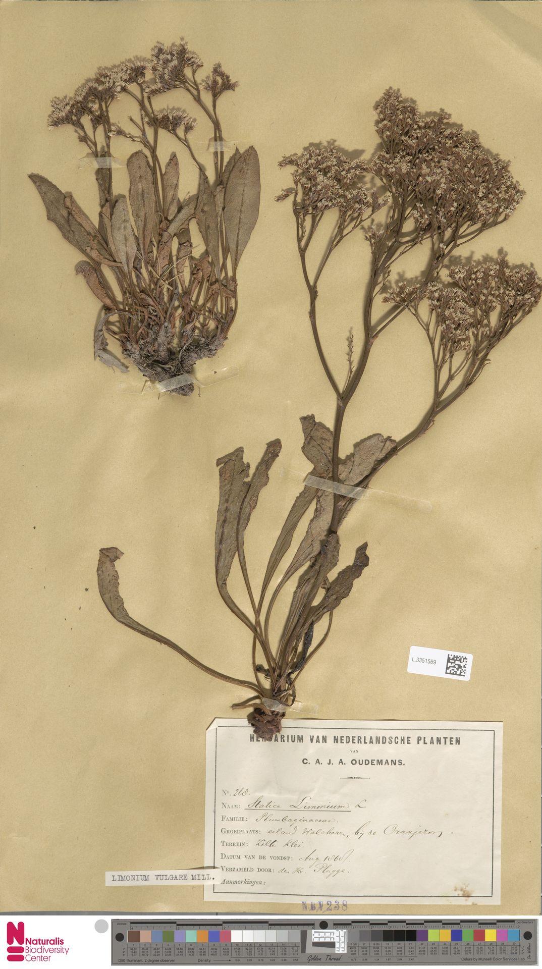 L.3351569 | Limonium vulgare Mill.