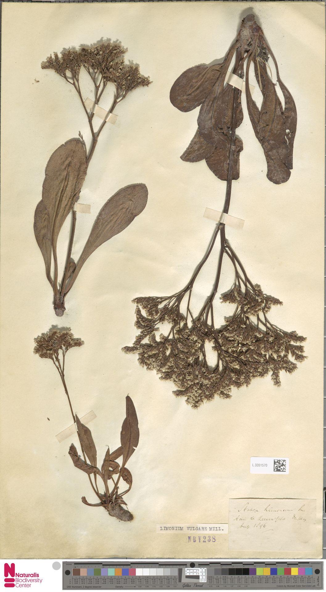 L.3351570 | Limonium vulgare Mill.