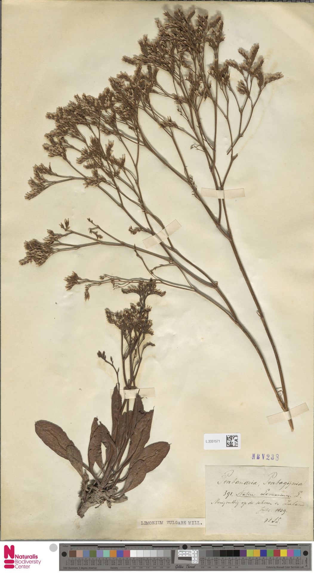 L.3351571 | Limonium vulgare Mill.