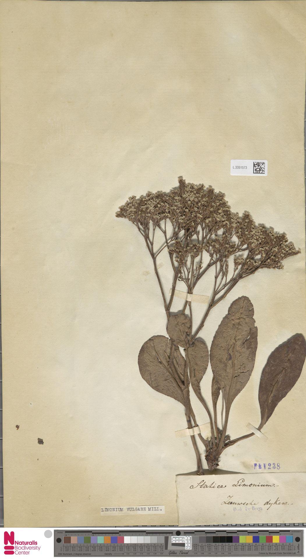 L.3351573 | Limonium vulgare Mill.