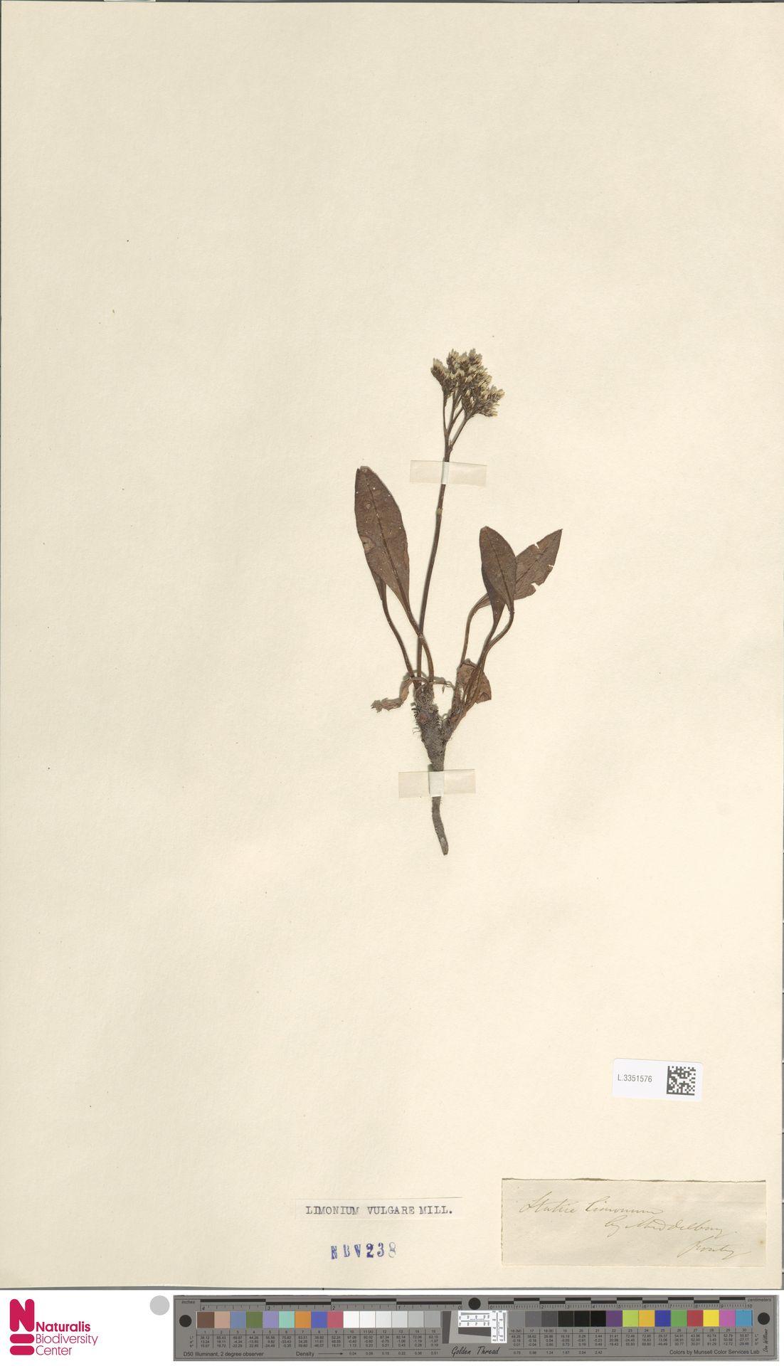 L.3351576 | Limonium vulgare Mill.