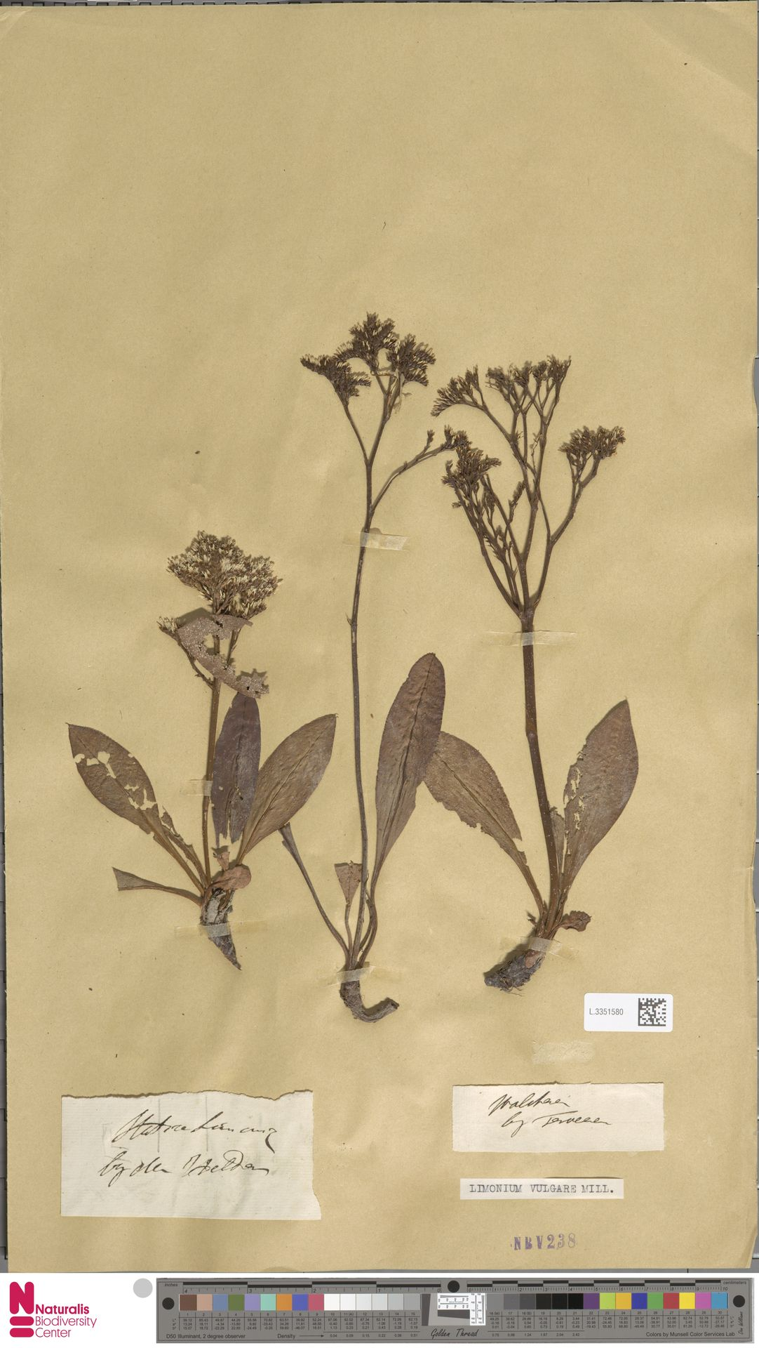 L.3351580 | Limonium vulgare Mill.