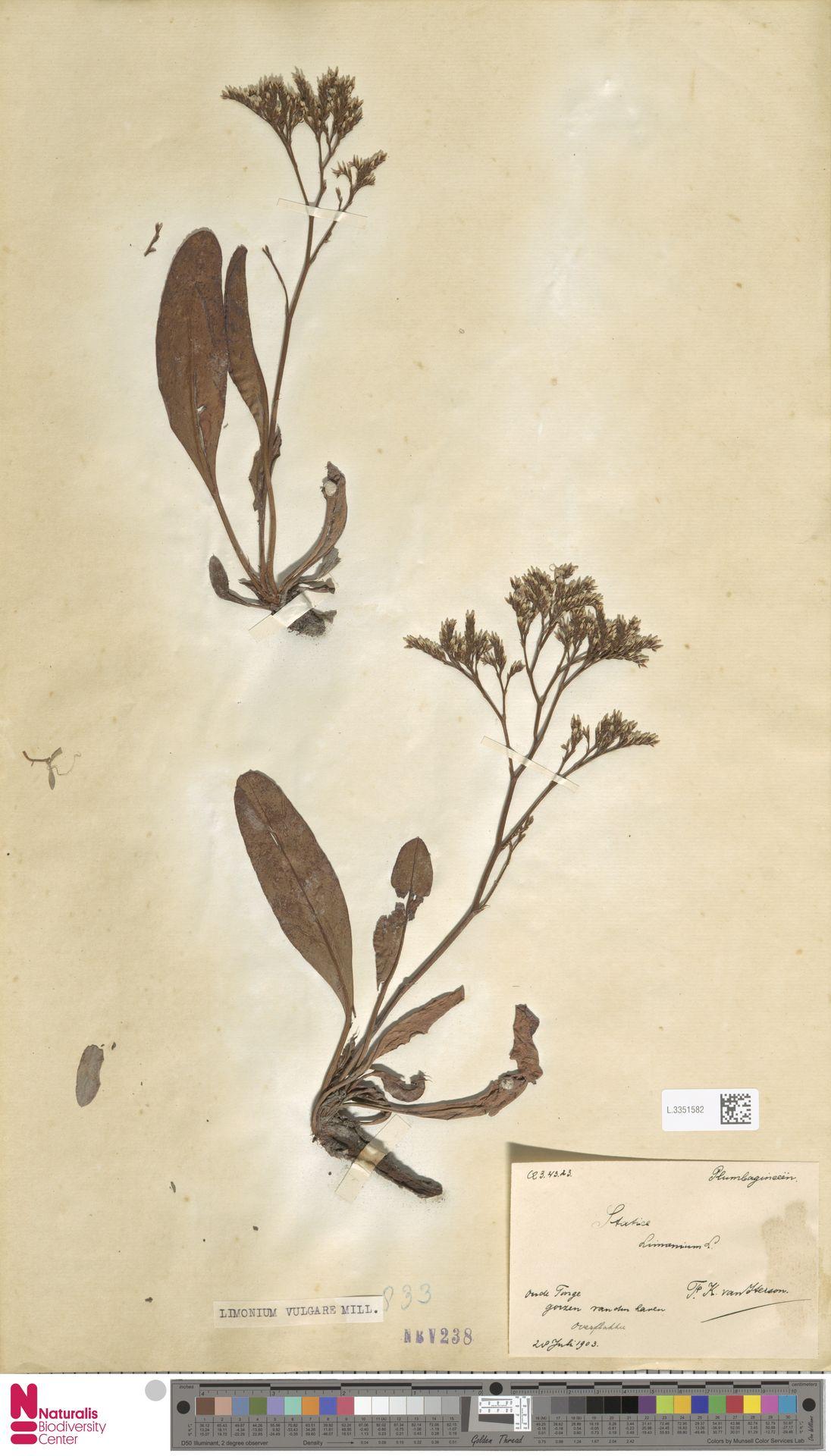 L.3351582 | Limonium vulgare Mill.