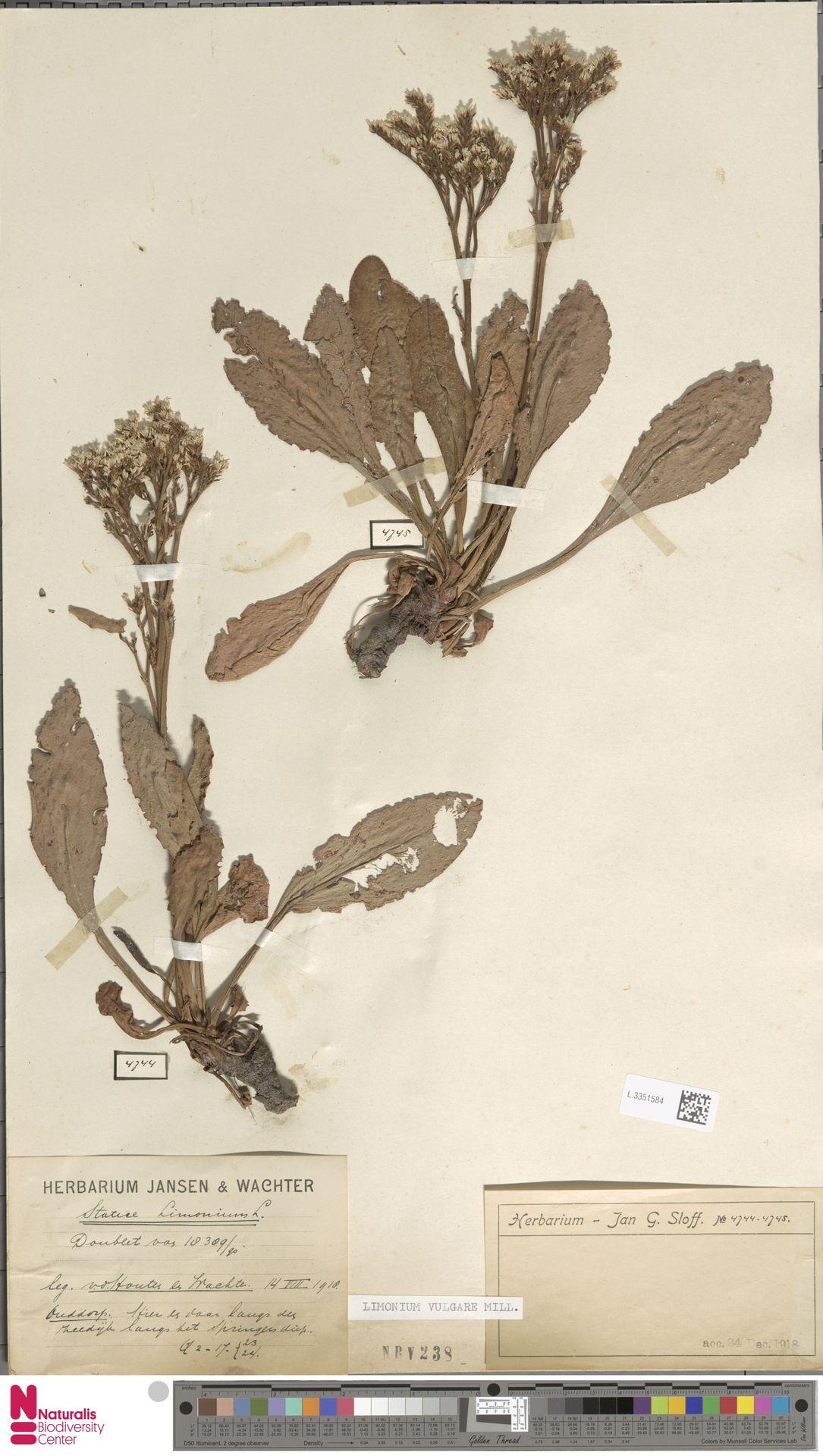 L.3351584 | Limonium vulgare Mill.