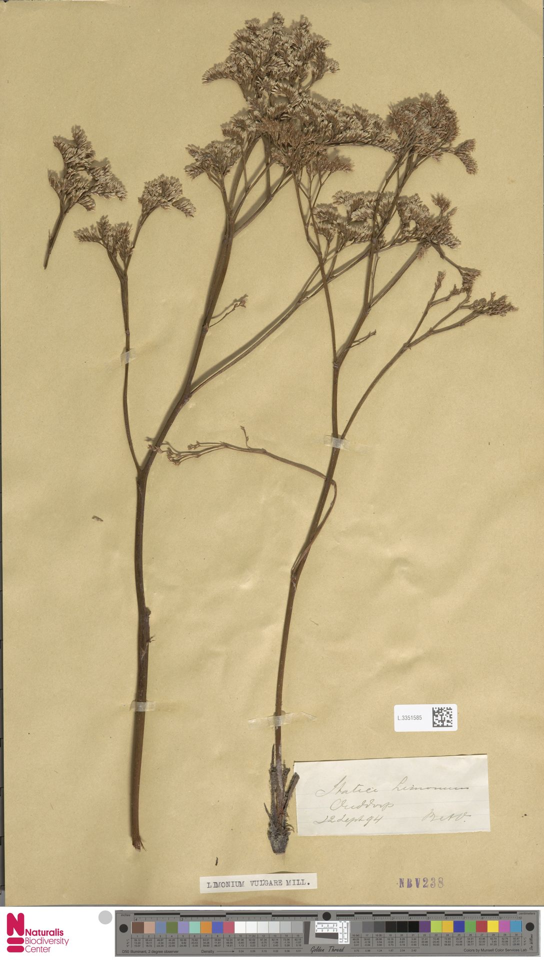 L.3351585 | Limonium vulgare Mill.