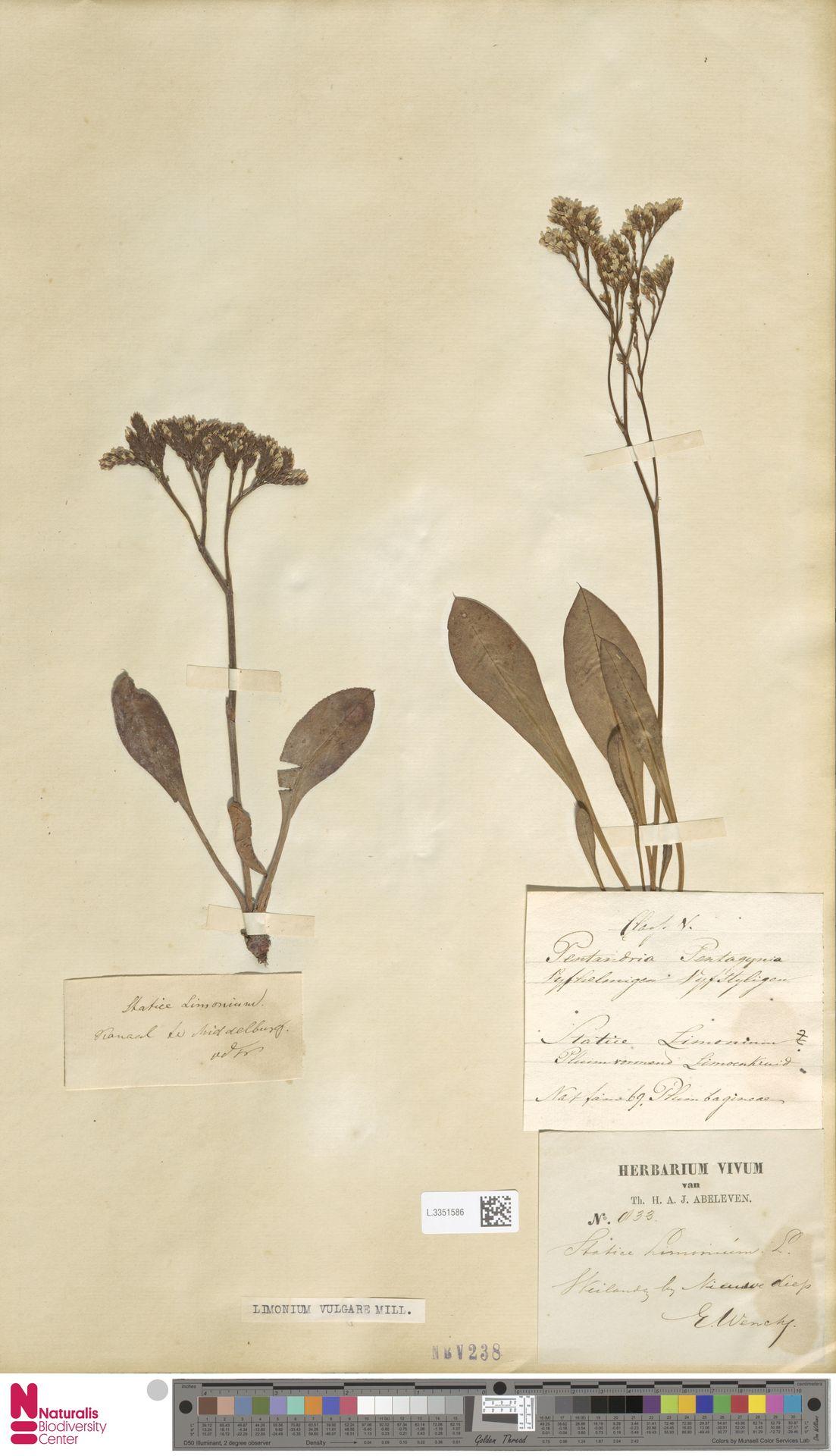 L.3351586 | Limonium vulgare Mill.
