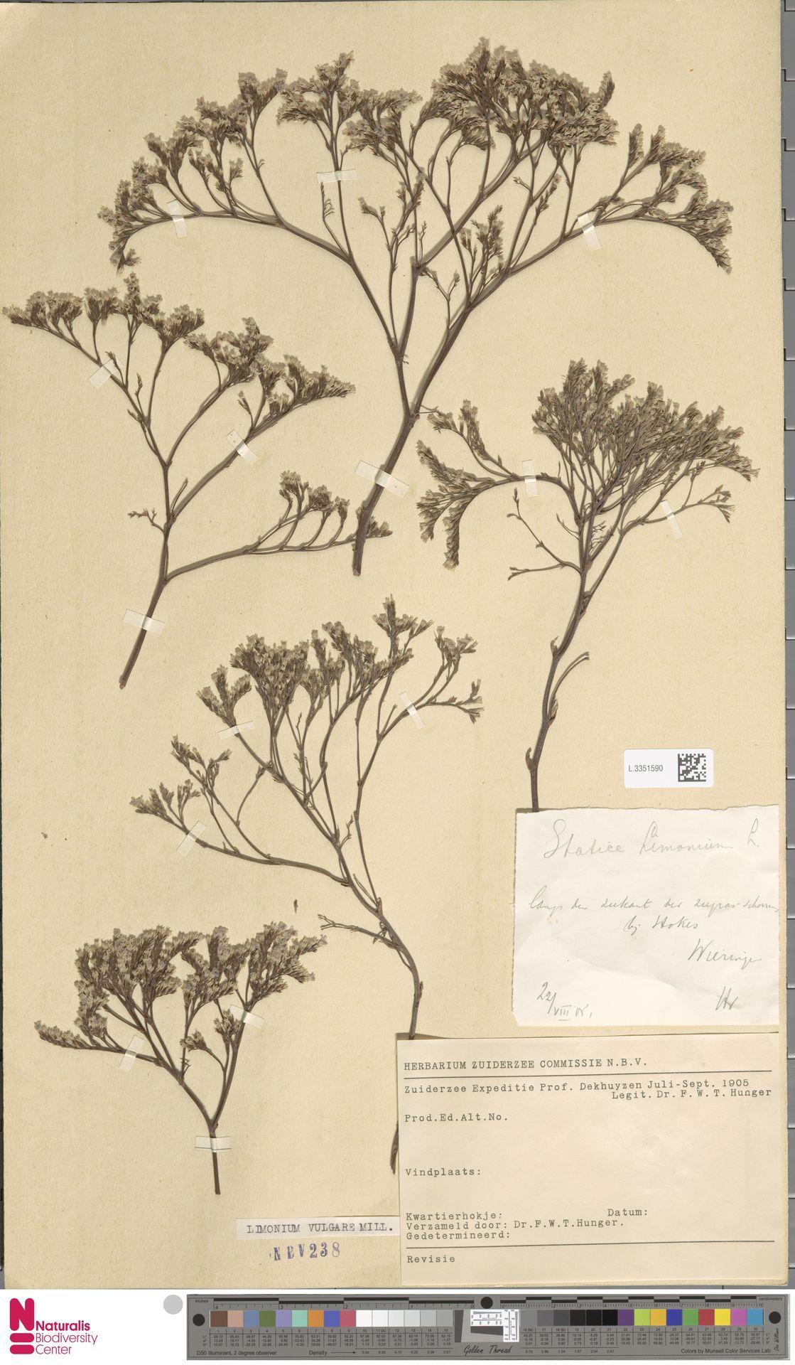 L.3351590 | Limonium vulgare Mill.