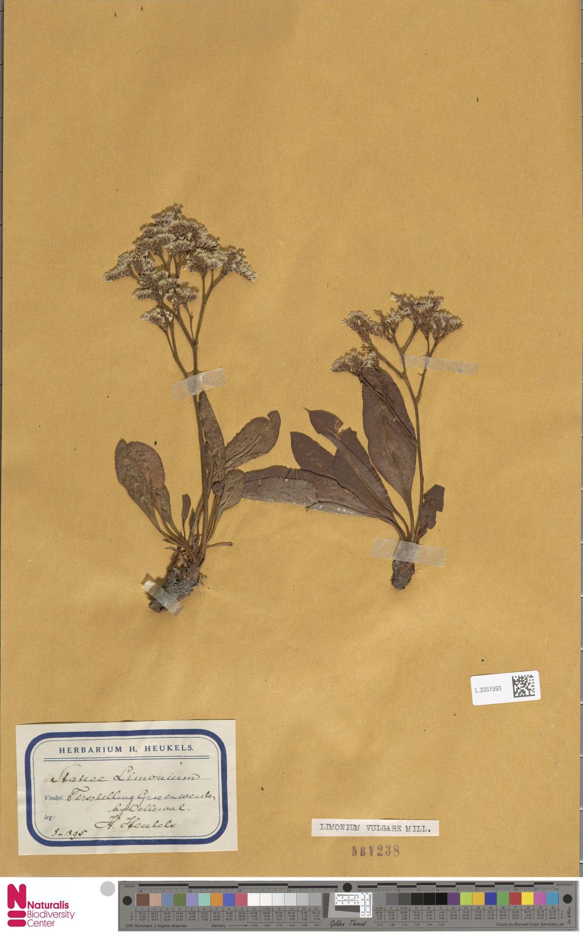 L.3351593 | Limonium vulgare Mill.