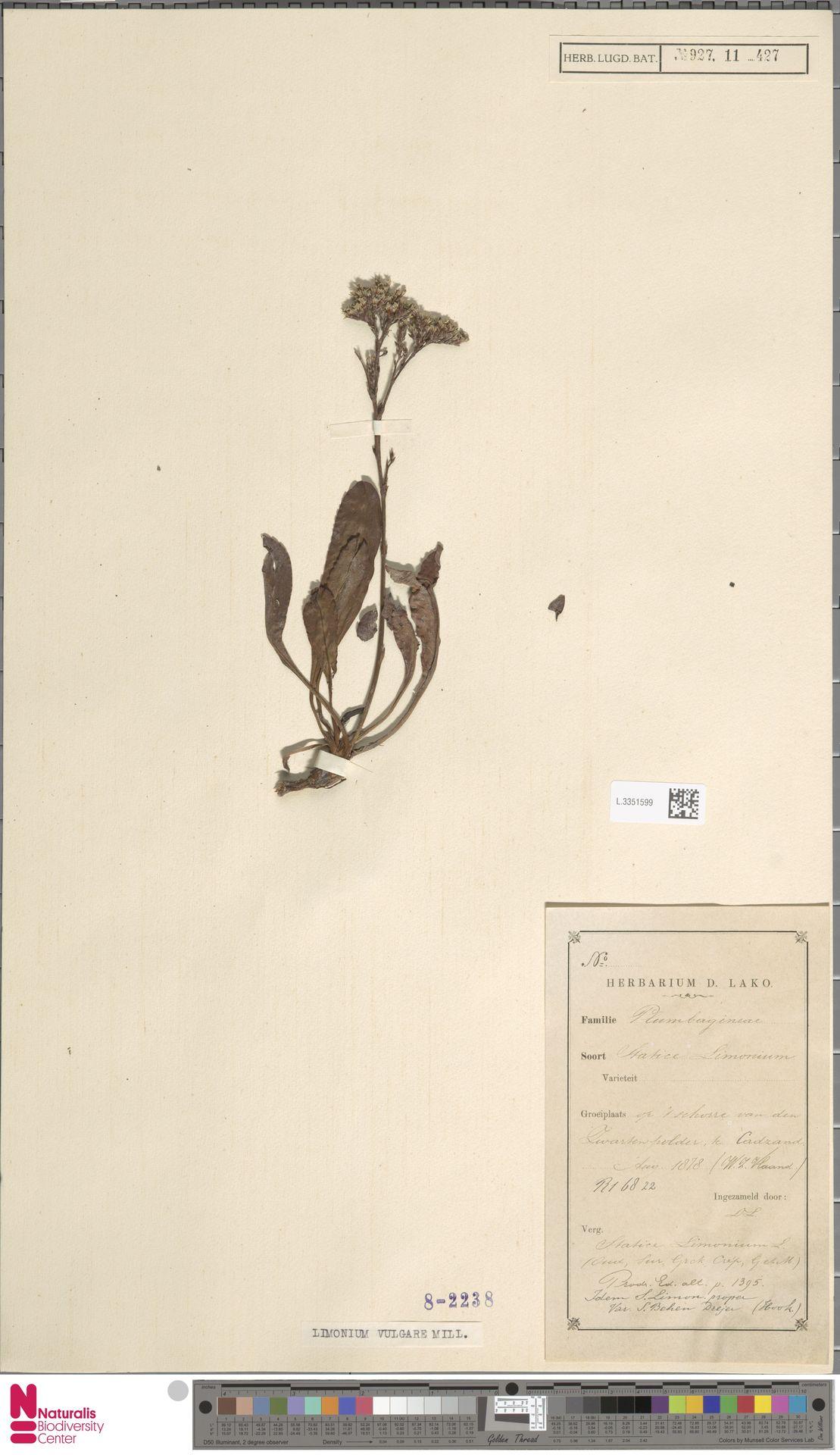 L.3351599 | Limonium vulgare Mill.