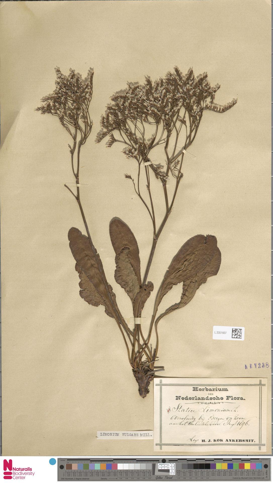 L.3351607 | Limonium vulgare Mill.