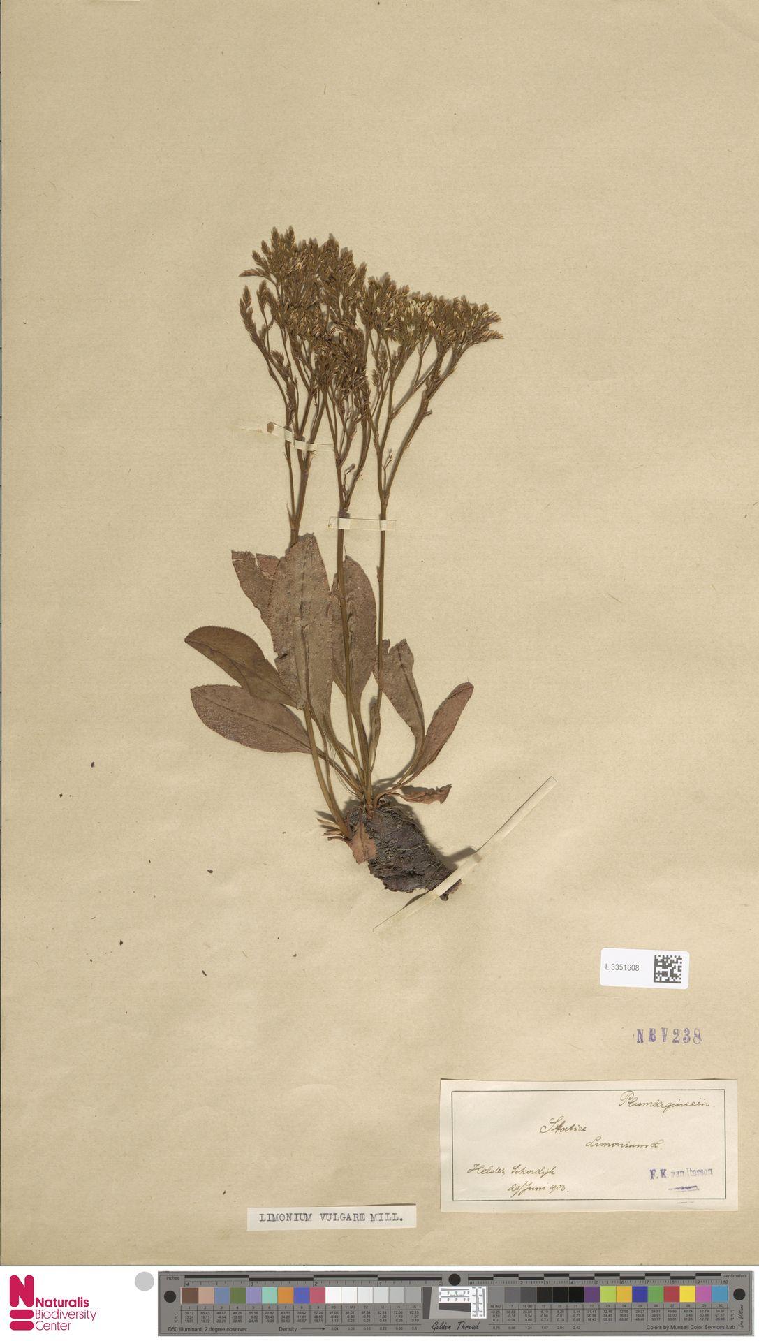 L.3351608 | Limonium vulgare Mill.