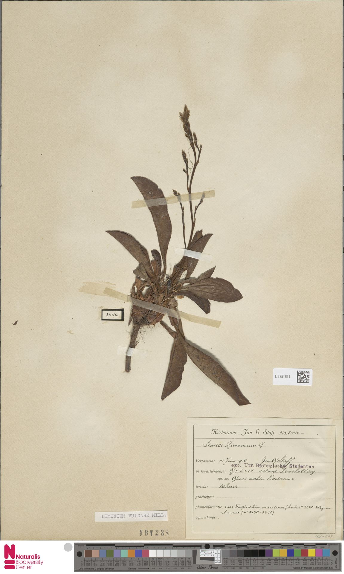 L.3351611 | Limonium vulgare Mill.