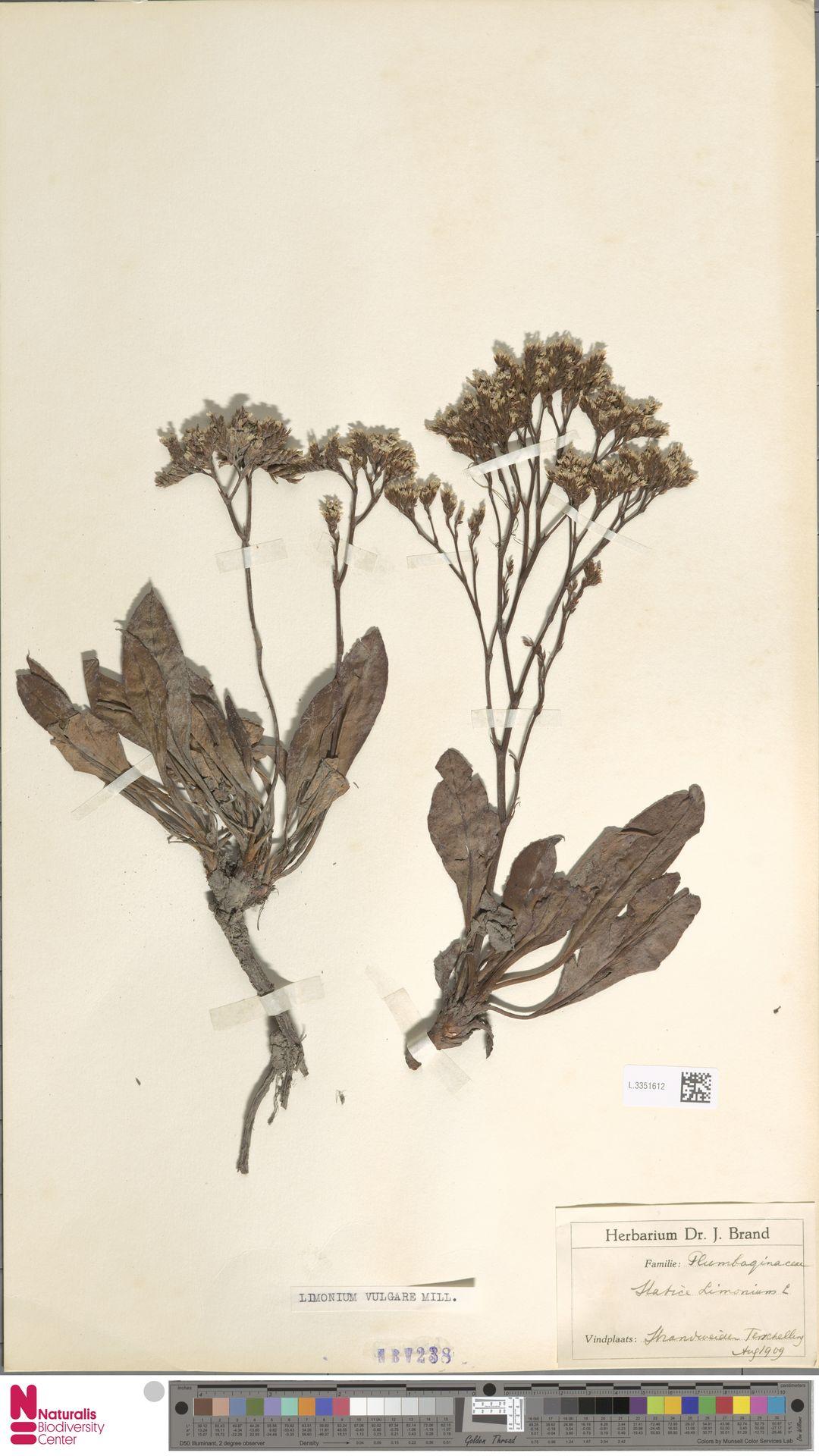 L.3351612 | Limonium vulgare Mill.
