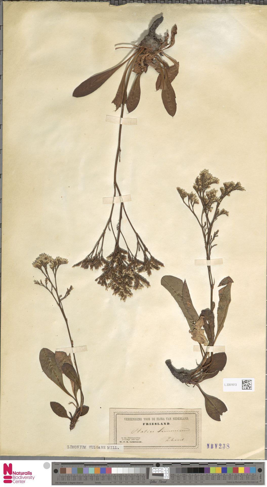 L.3351613 | Limonium vulgare Mill.