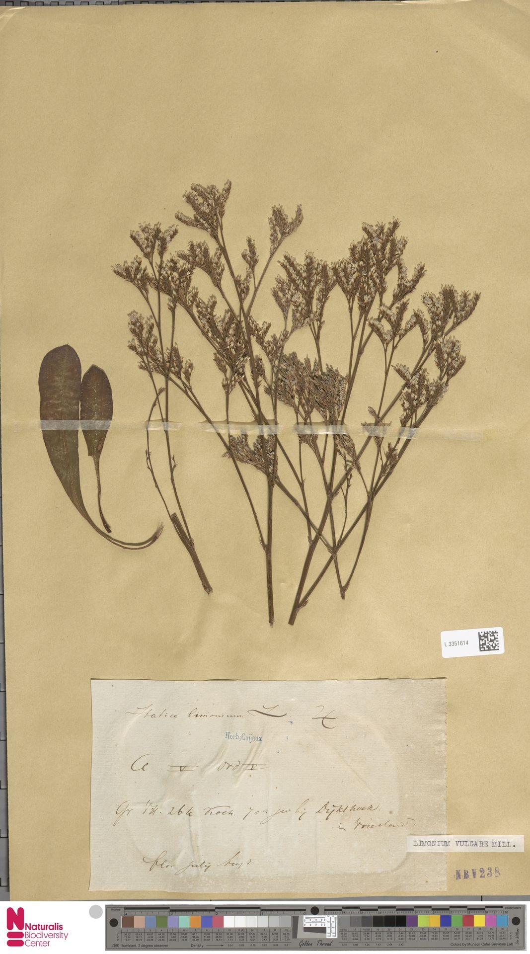 L.3351614 | Limonium vulgare Mill.