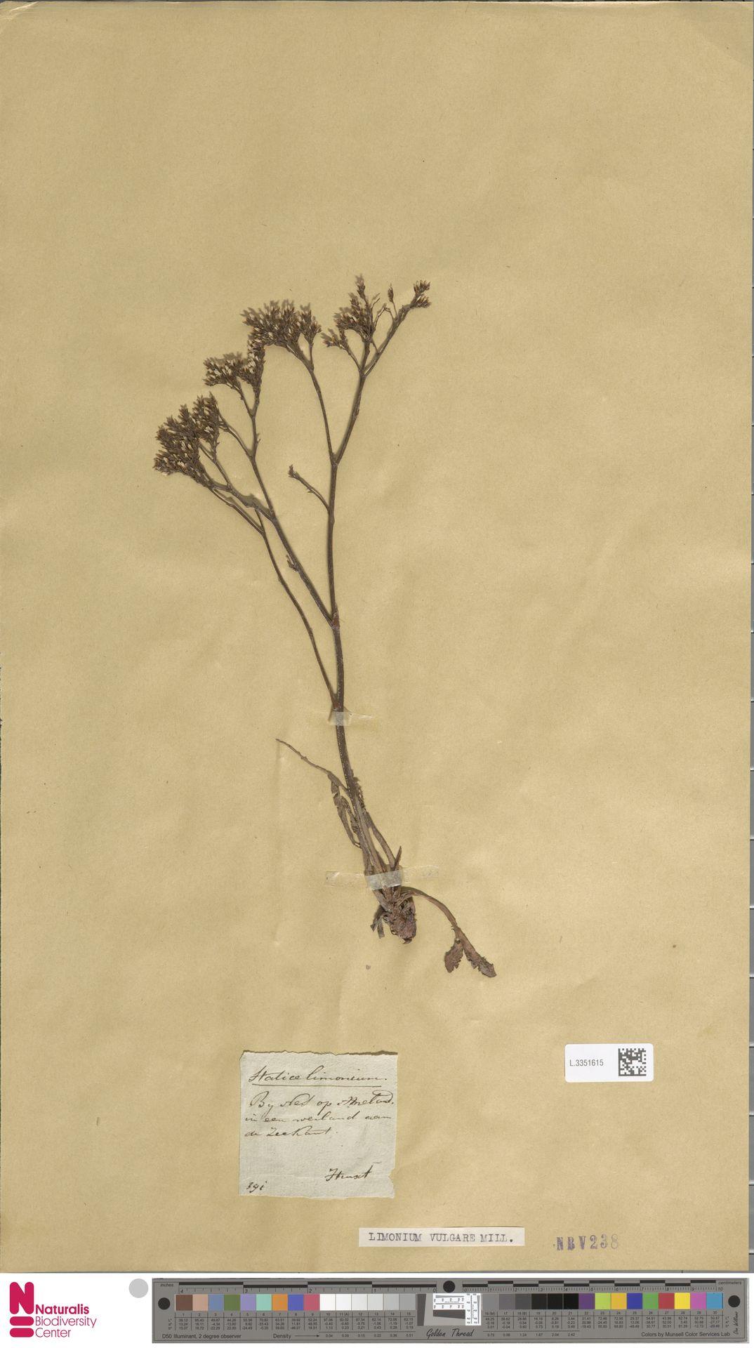 L.3351615 | Limonium vulgare Mill.