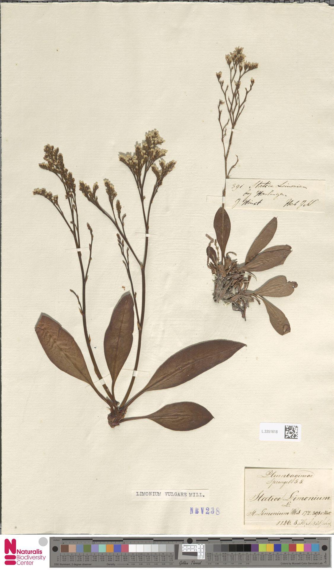 L.3351618 | Limonium vulgare Mill.