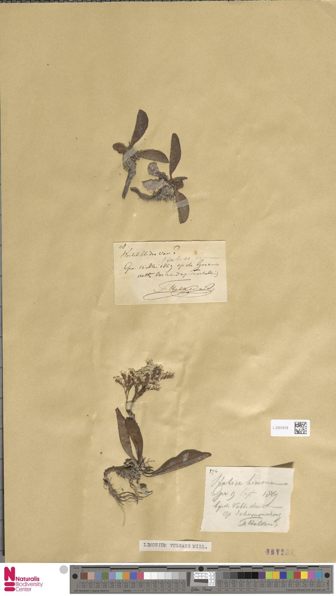L.3351619 | Limonium vulgare Mill.