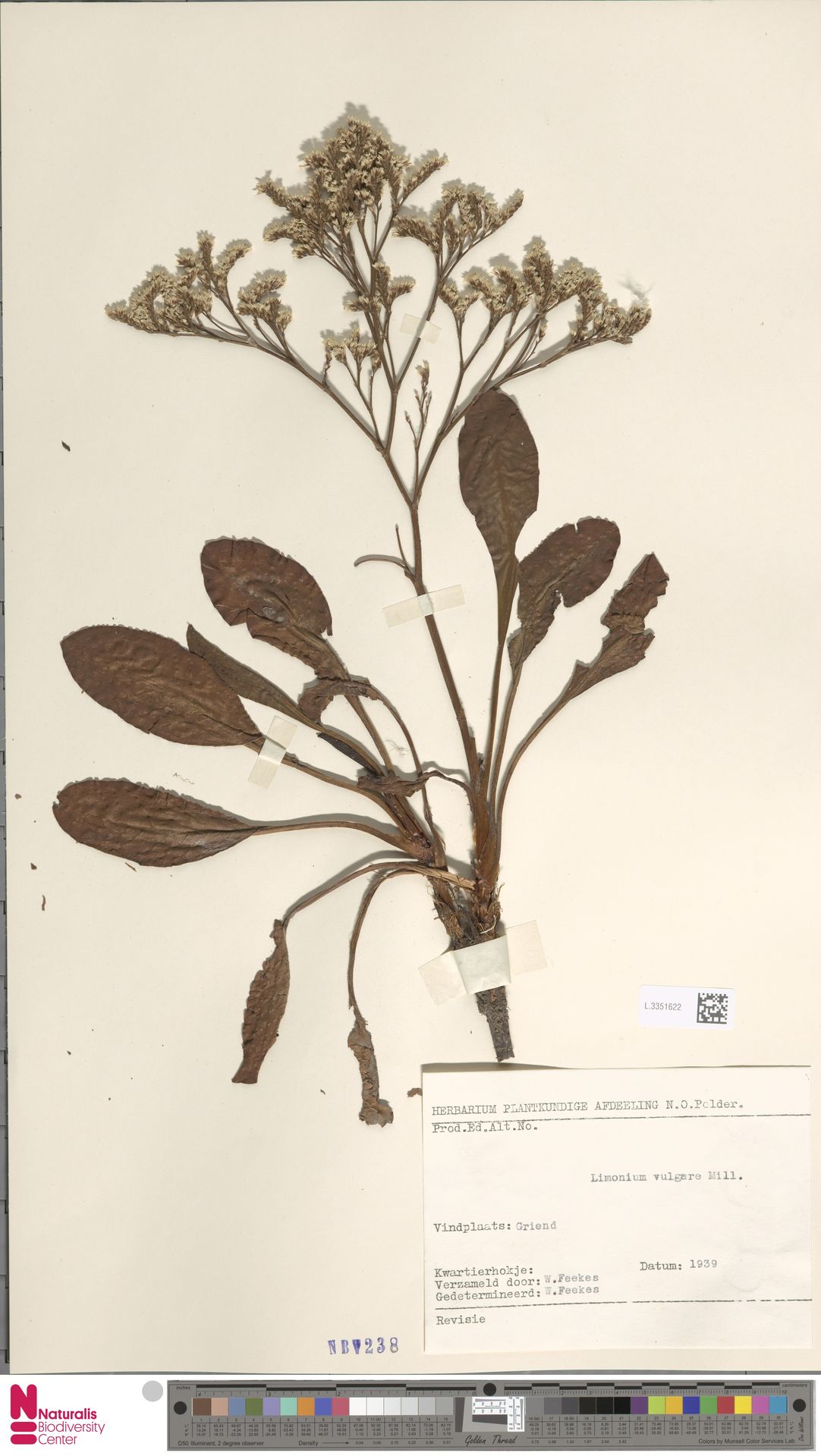 L.3351622 | Limonium vulgare Mill.