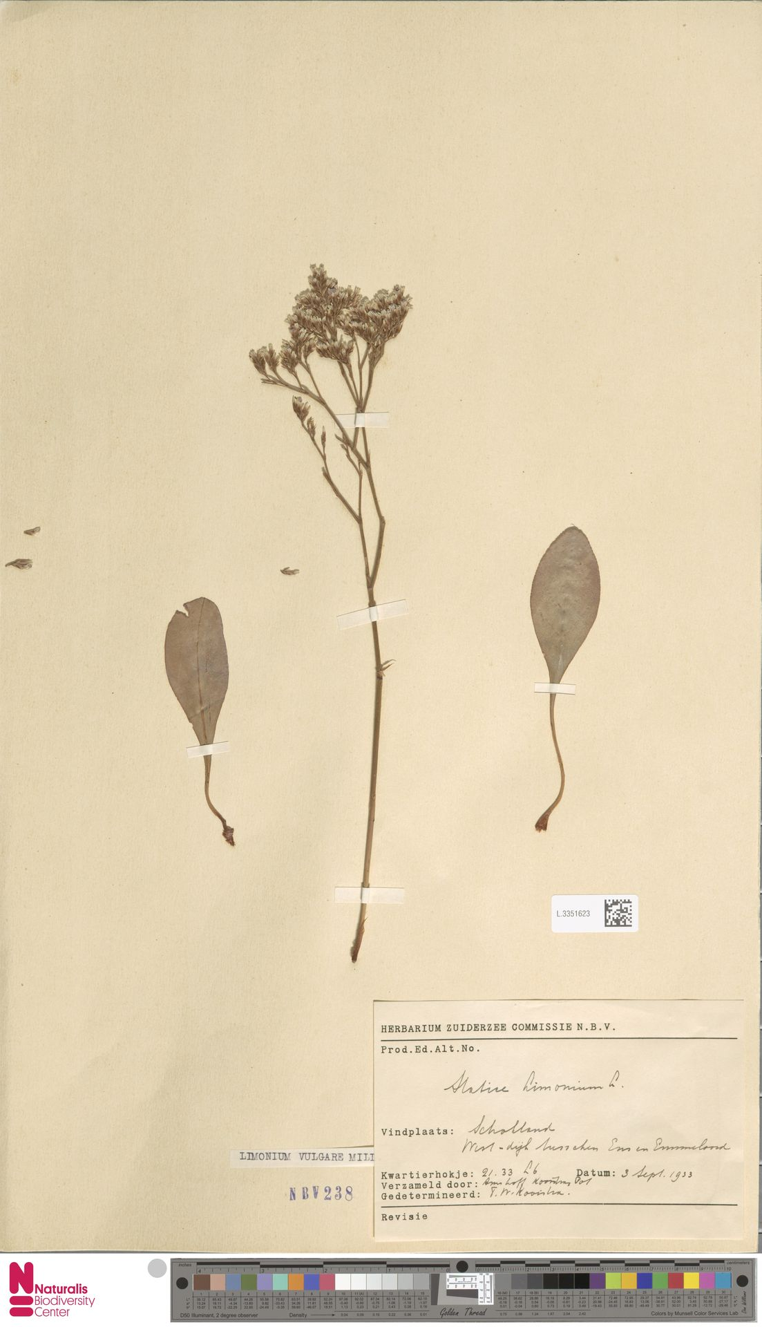 L.3351623 | Limonium vulgare Mill.