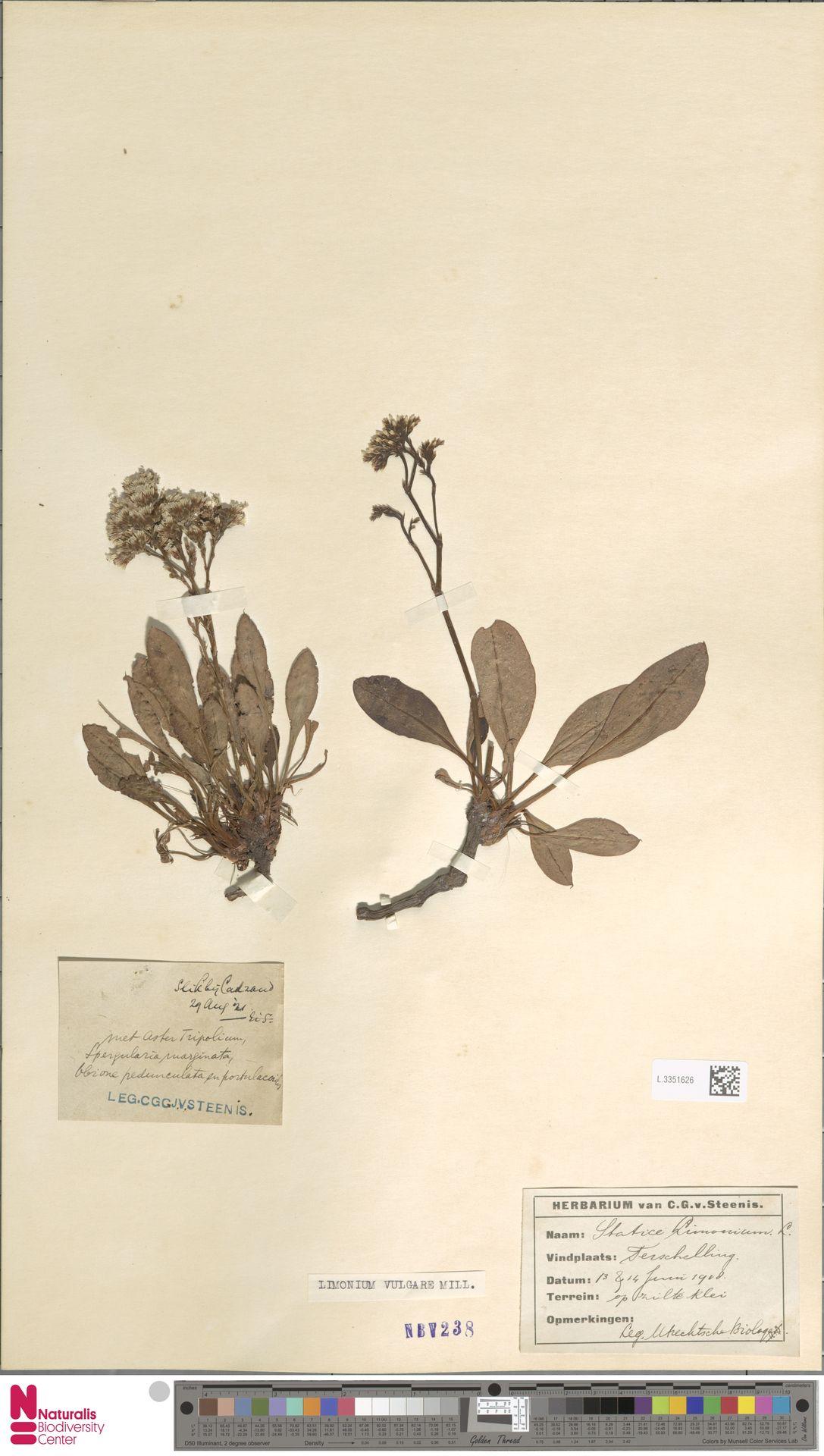 L.3351626 | Limonium vulgare Mill.
