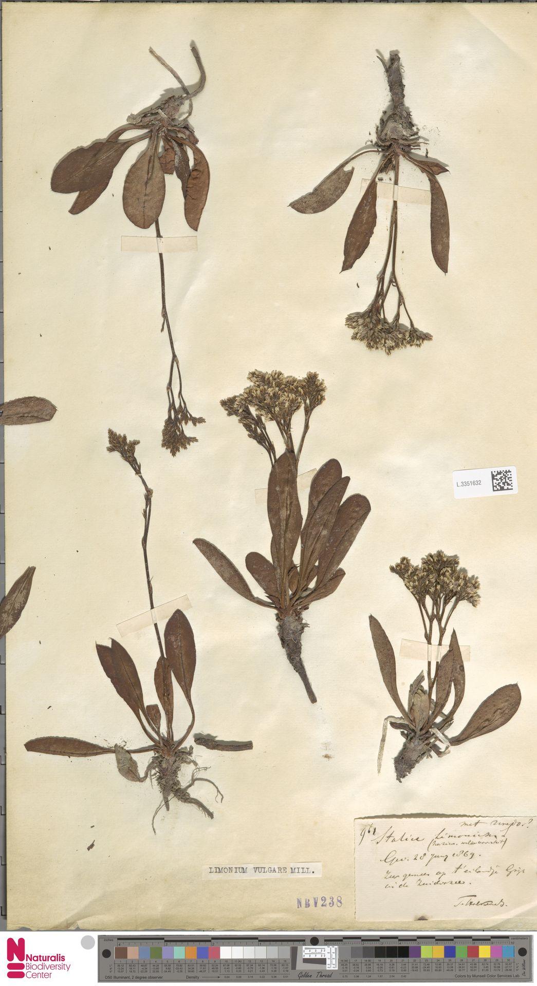 L.3351632 | Limonium vulgare Mill.