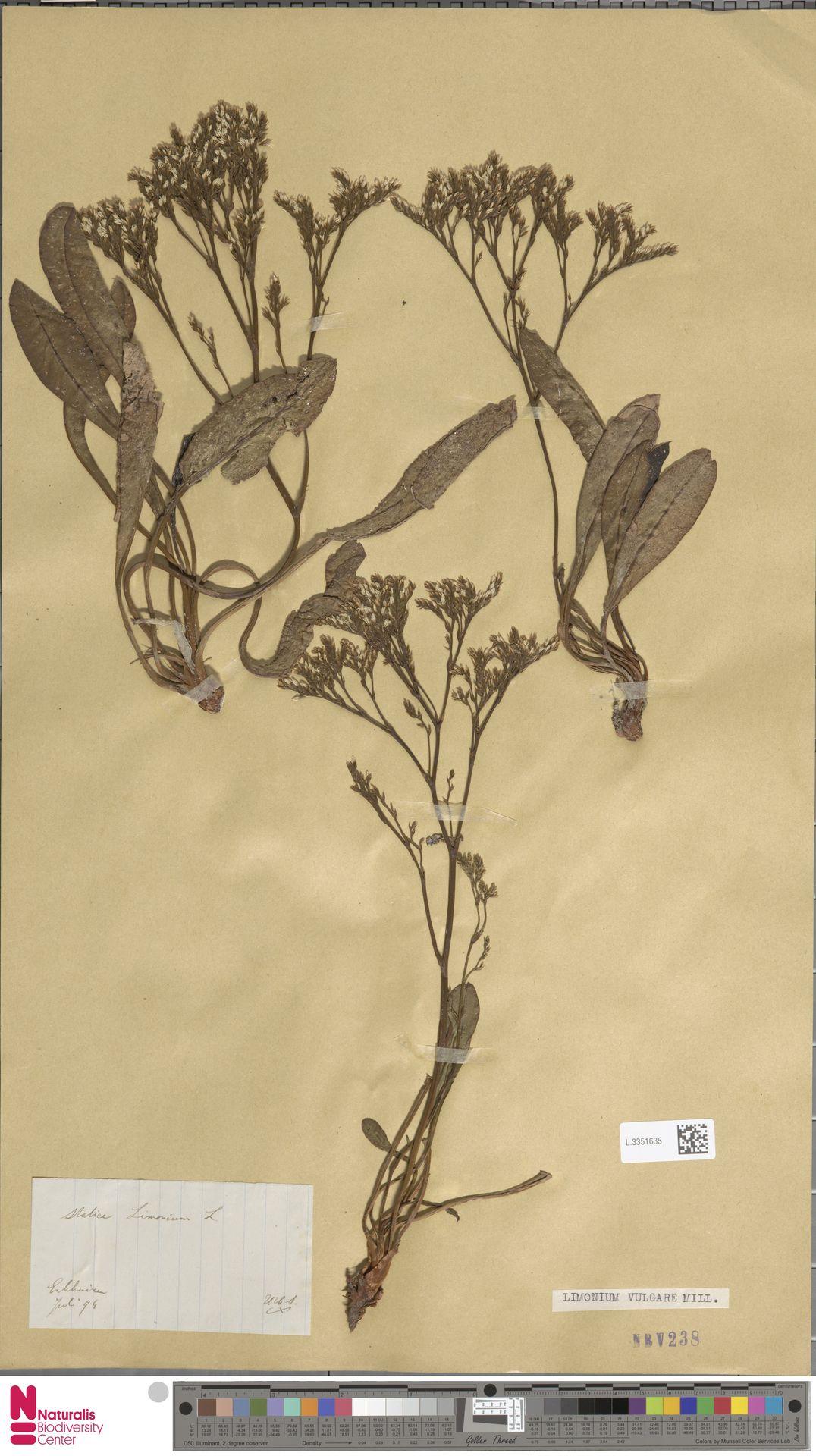 L.3351635 | Limonium vulgare Mill.