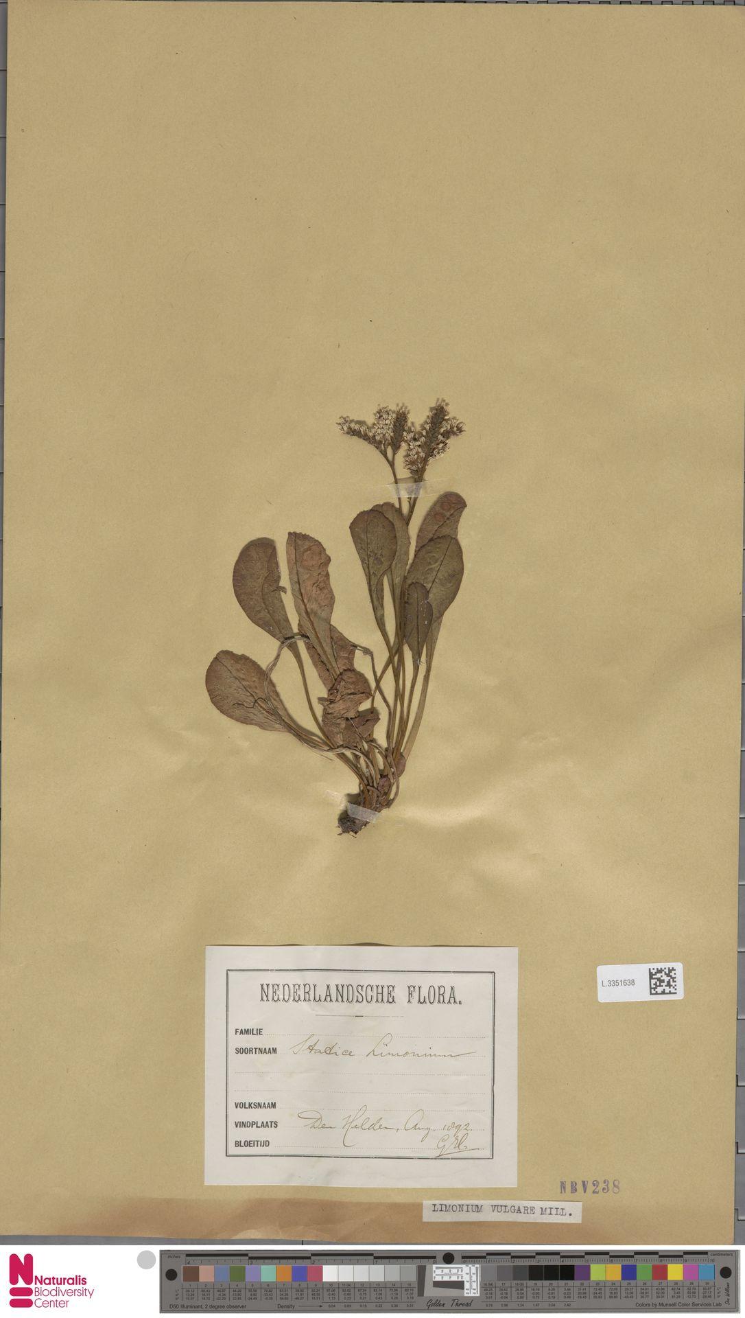 L.3351638 | Limonium vulgare Mill.