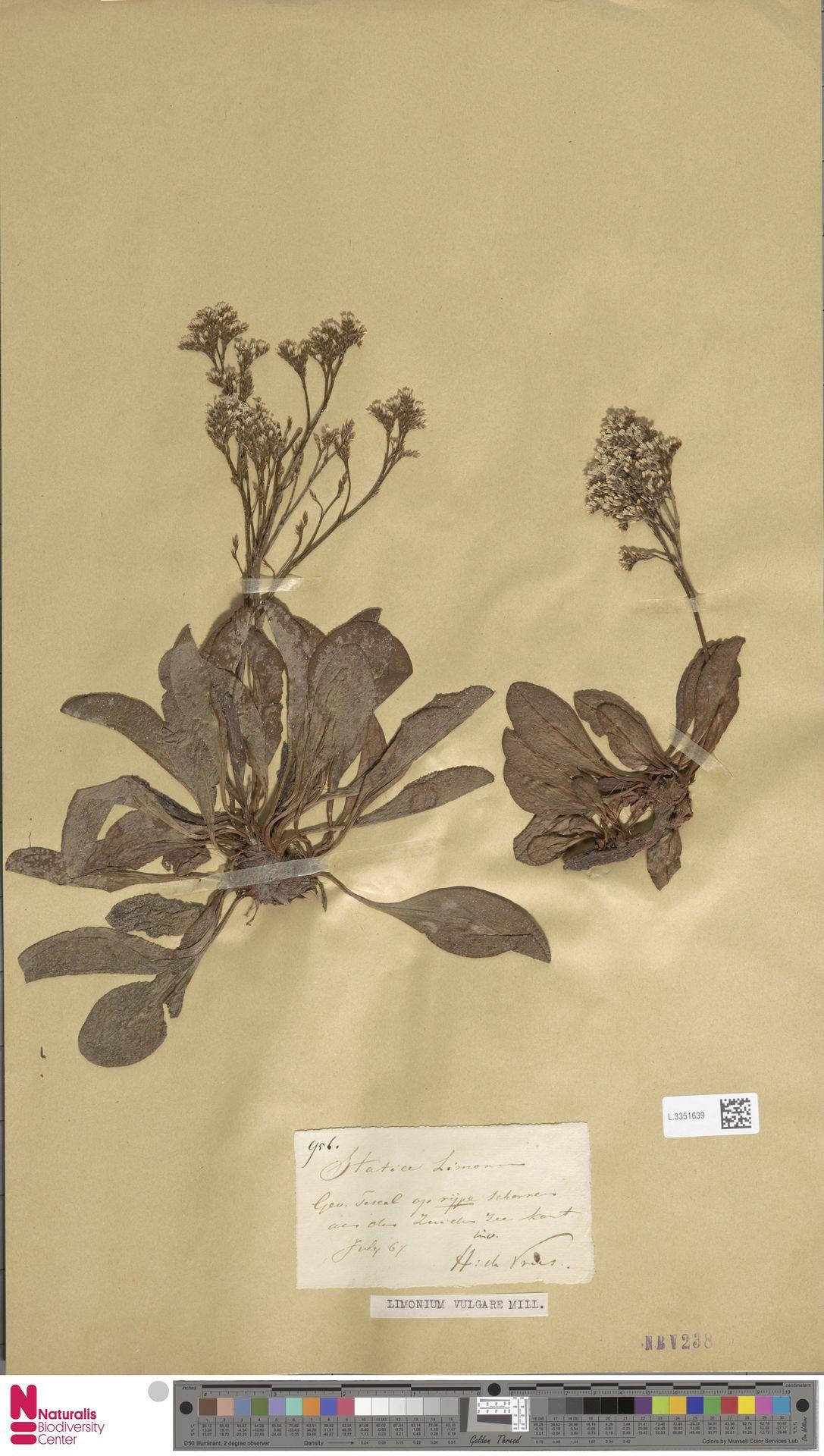 L.3351639 | Limonium vulgare Mill.