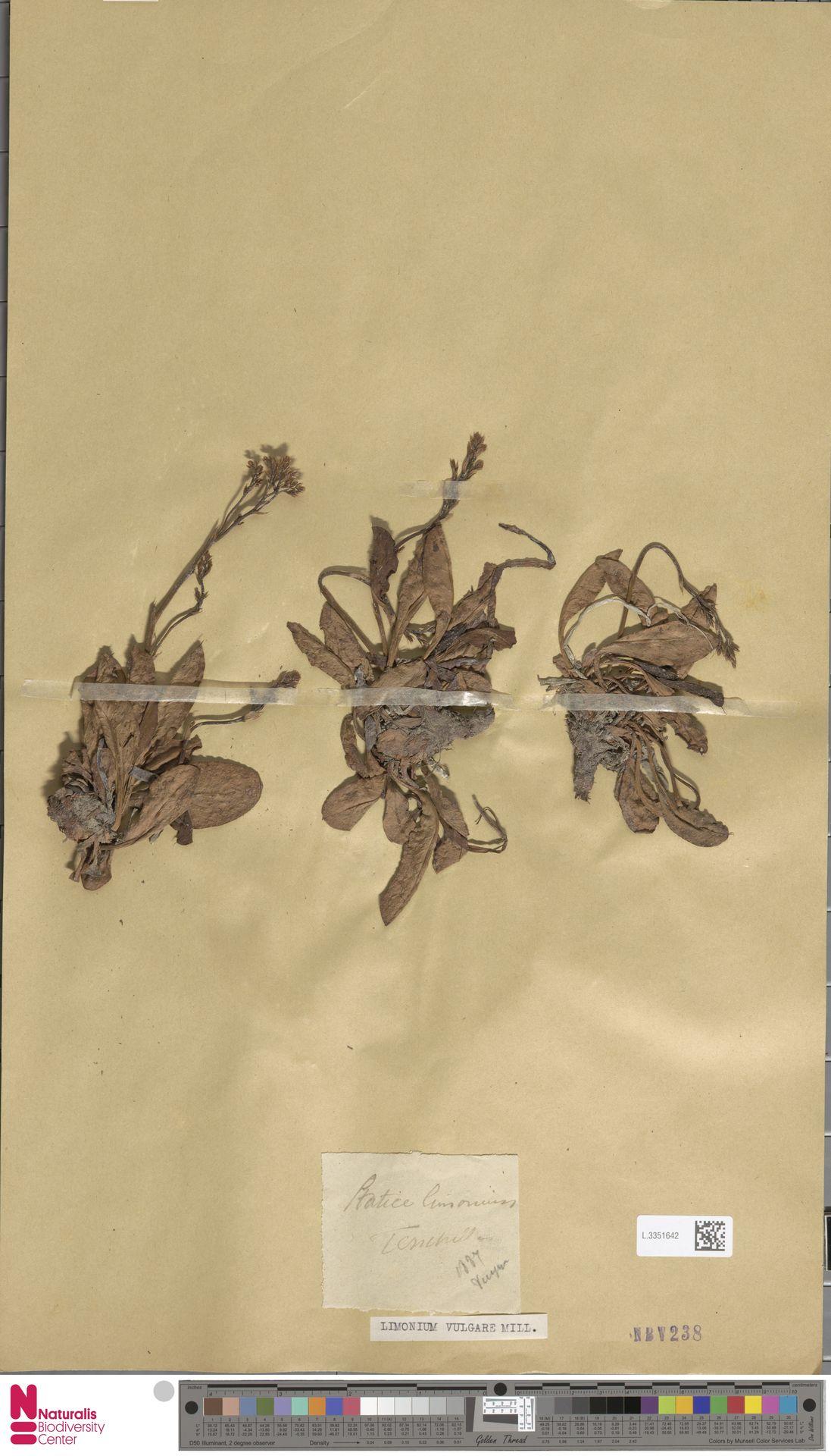 L.3351642 | Limonium vulgare Mill.