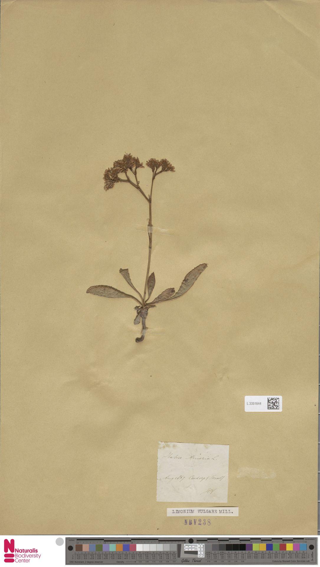 L.3351644 | Limonium vulgare Mill.