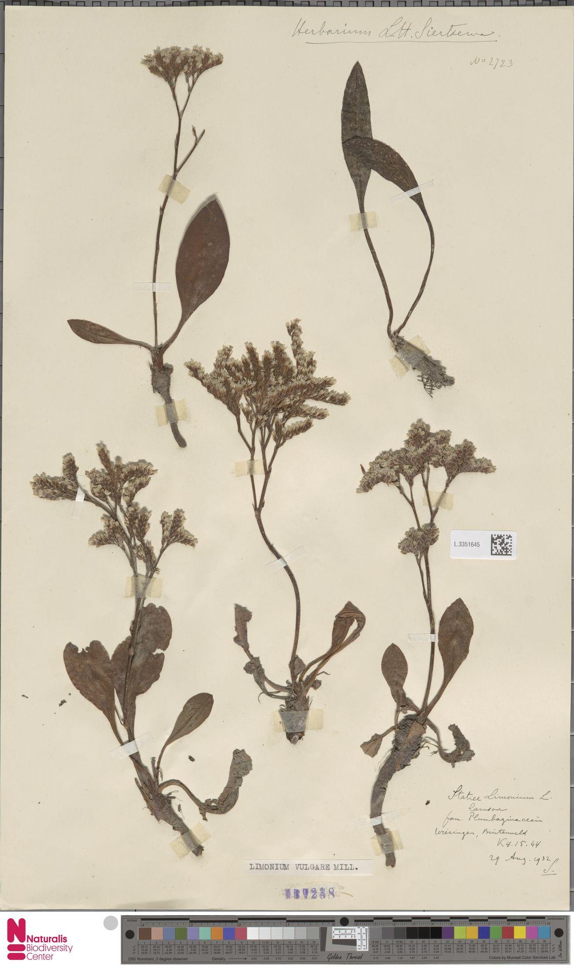 L.3351645 | Limonium vulgare Mill.