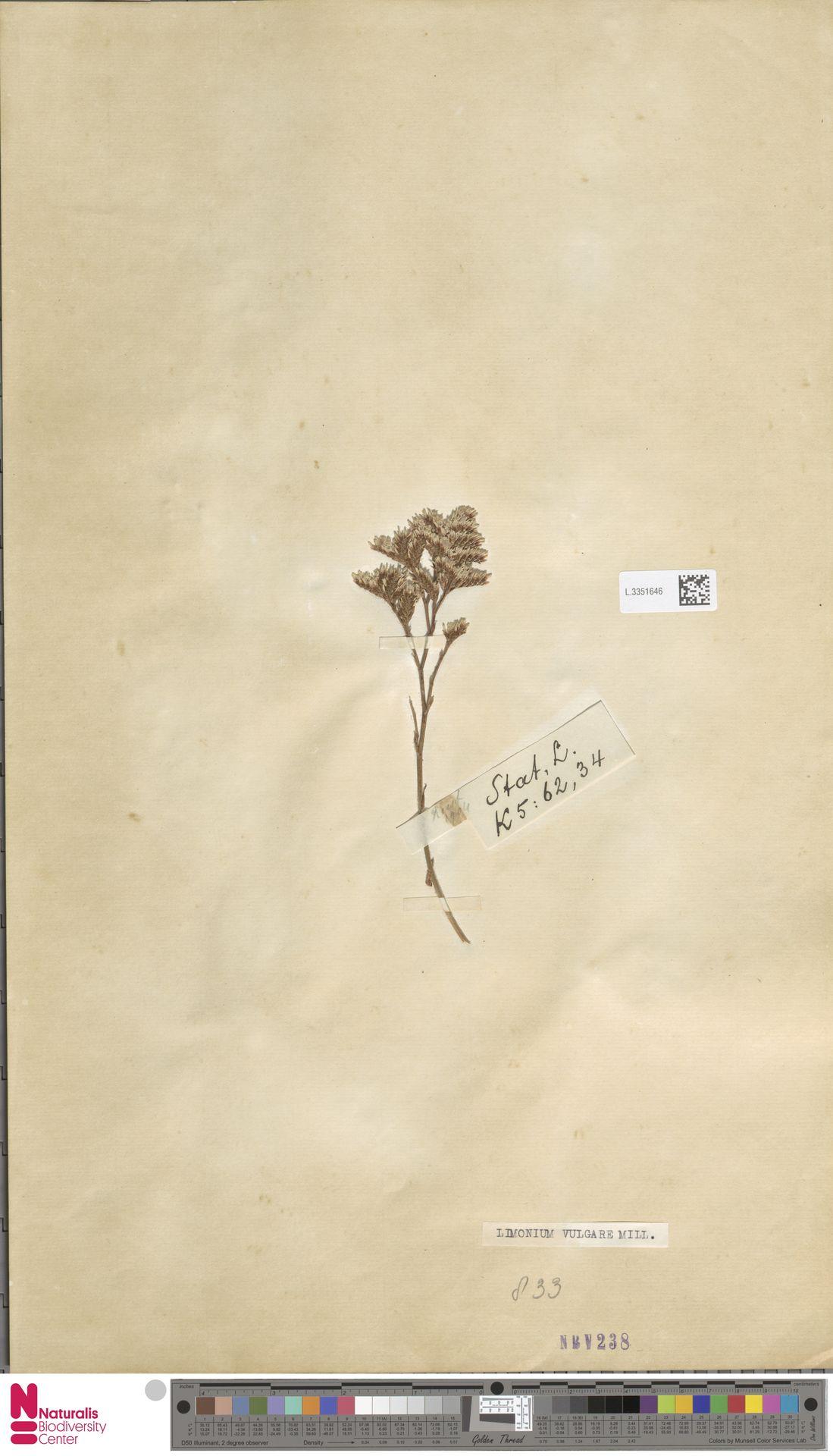 L.3351646 | Limonium vulgare Mill.