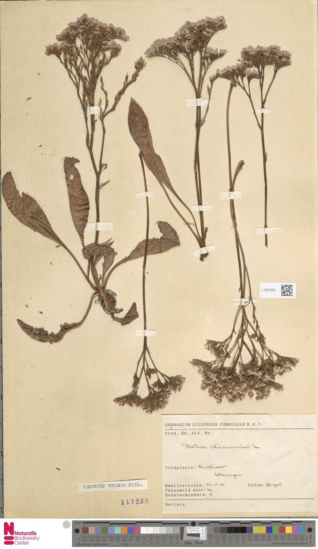 L.3351653 | Limonium vulgare Mill.