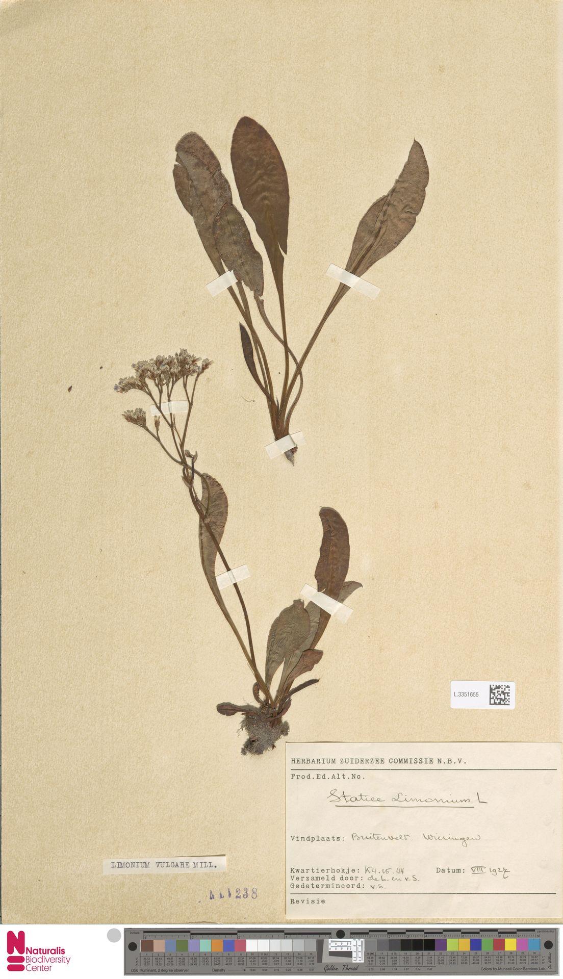 L.3351655 | Limonium vulgare Mill.