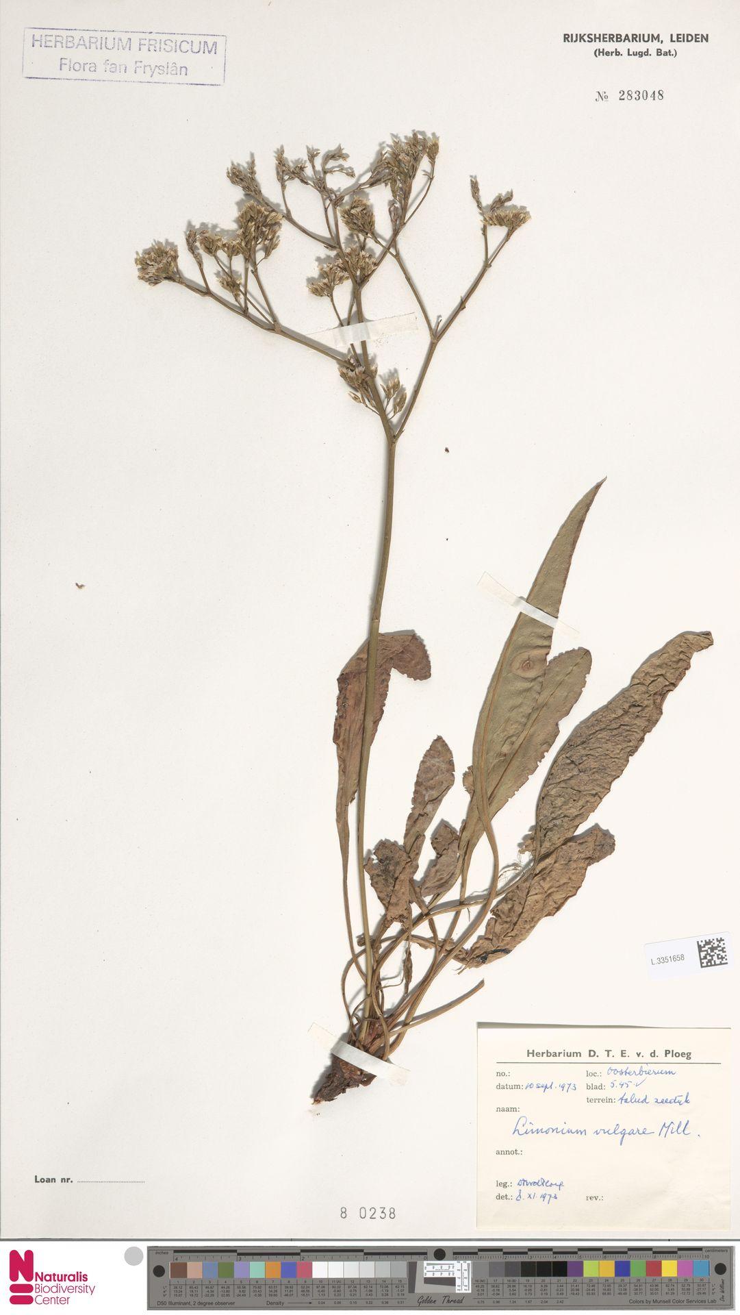 L.3351658 | Limonium vulgare Mill.