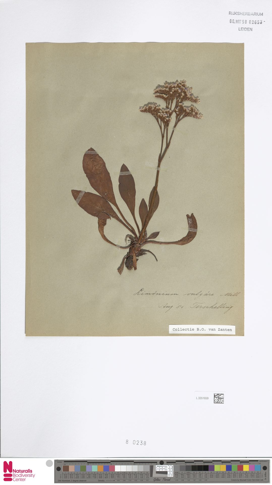 L.3351659 | Limonium vulgare Mill.