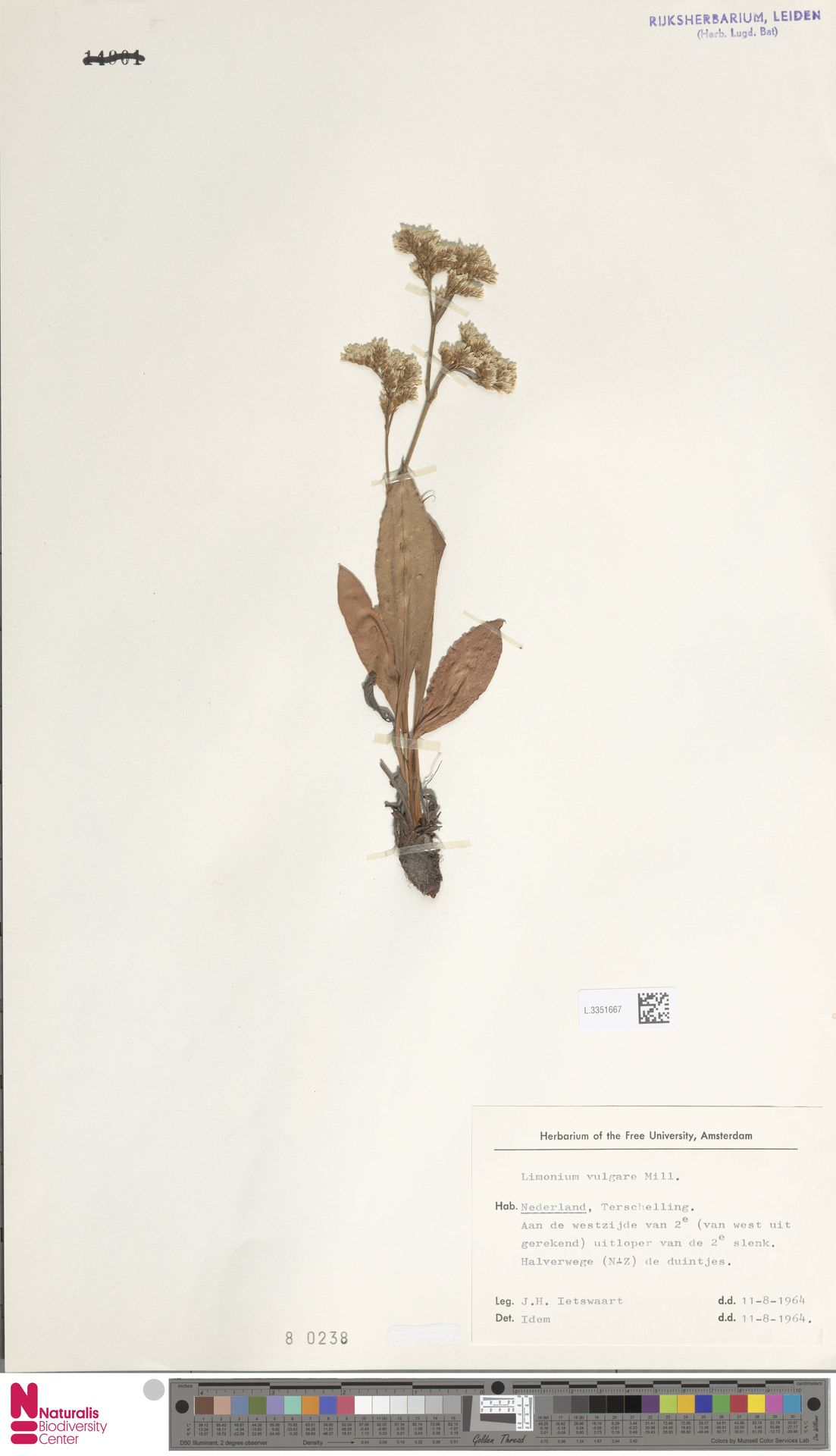 L.3351667 | Limonium vulgare Mill.