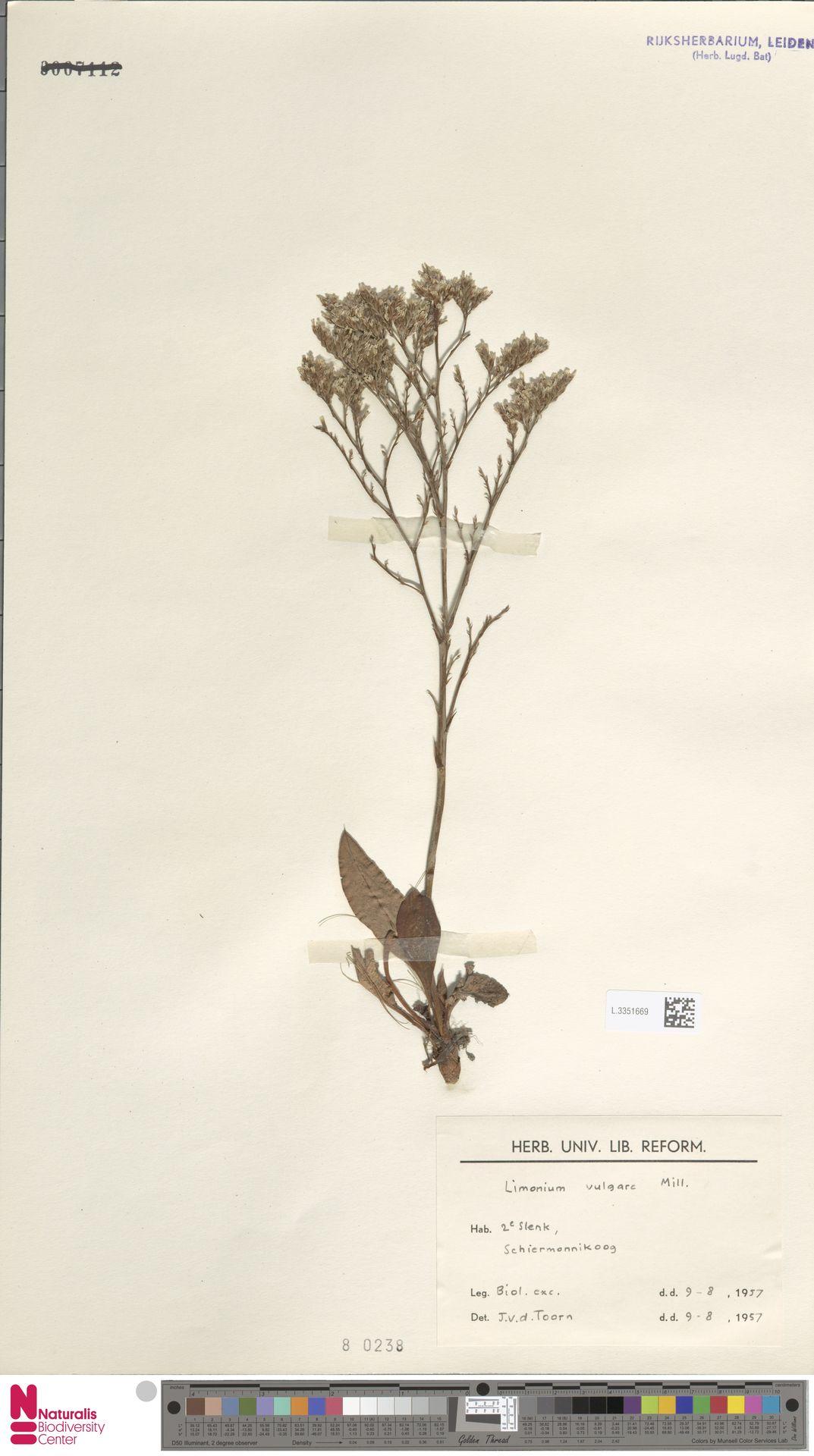 L.3351669 | Limonium vulgare Mill.