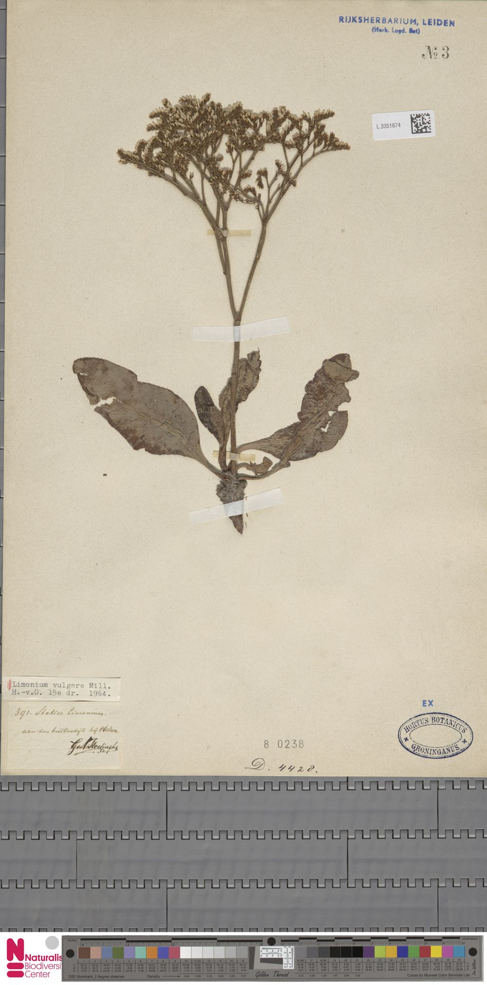 L.3351674 | Limonium vulgare Mill.