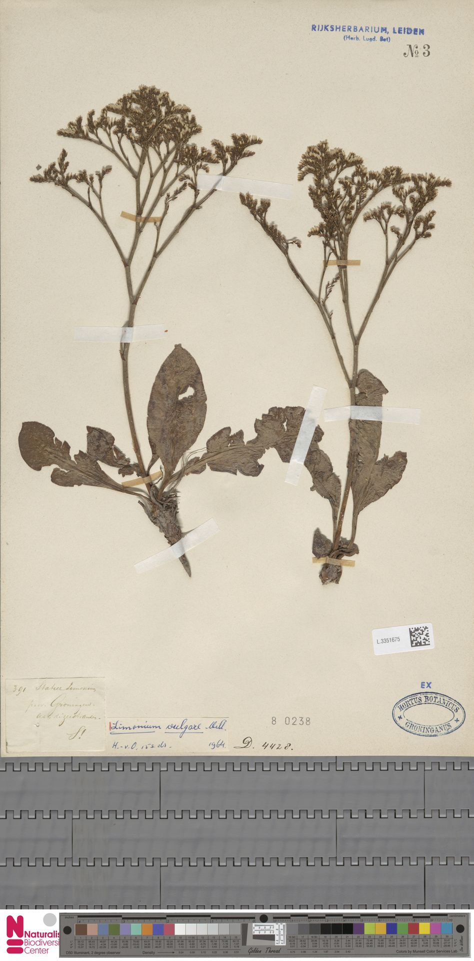 L.3351675 | Limonium vulgare Mill.