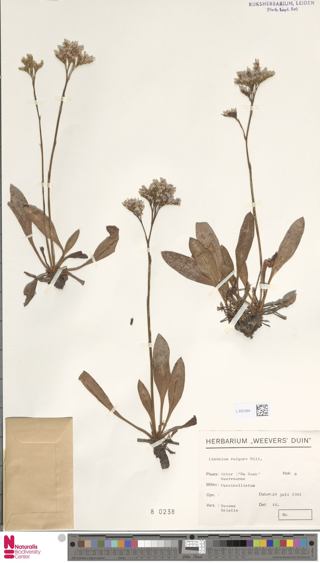 L.3351684 | Limonium vulgare Mill.