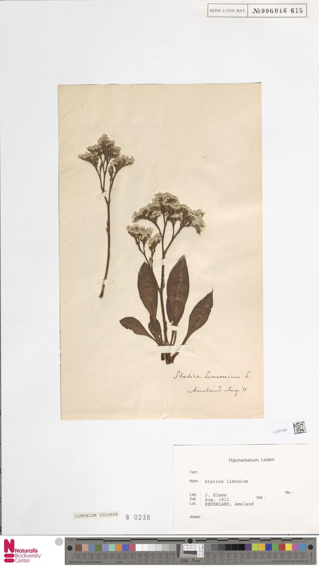 L.3351691 | Limonium vulgare Mill.