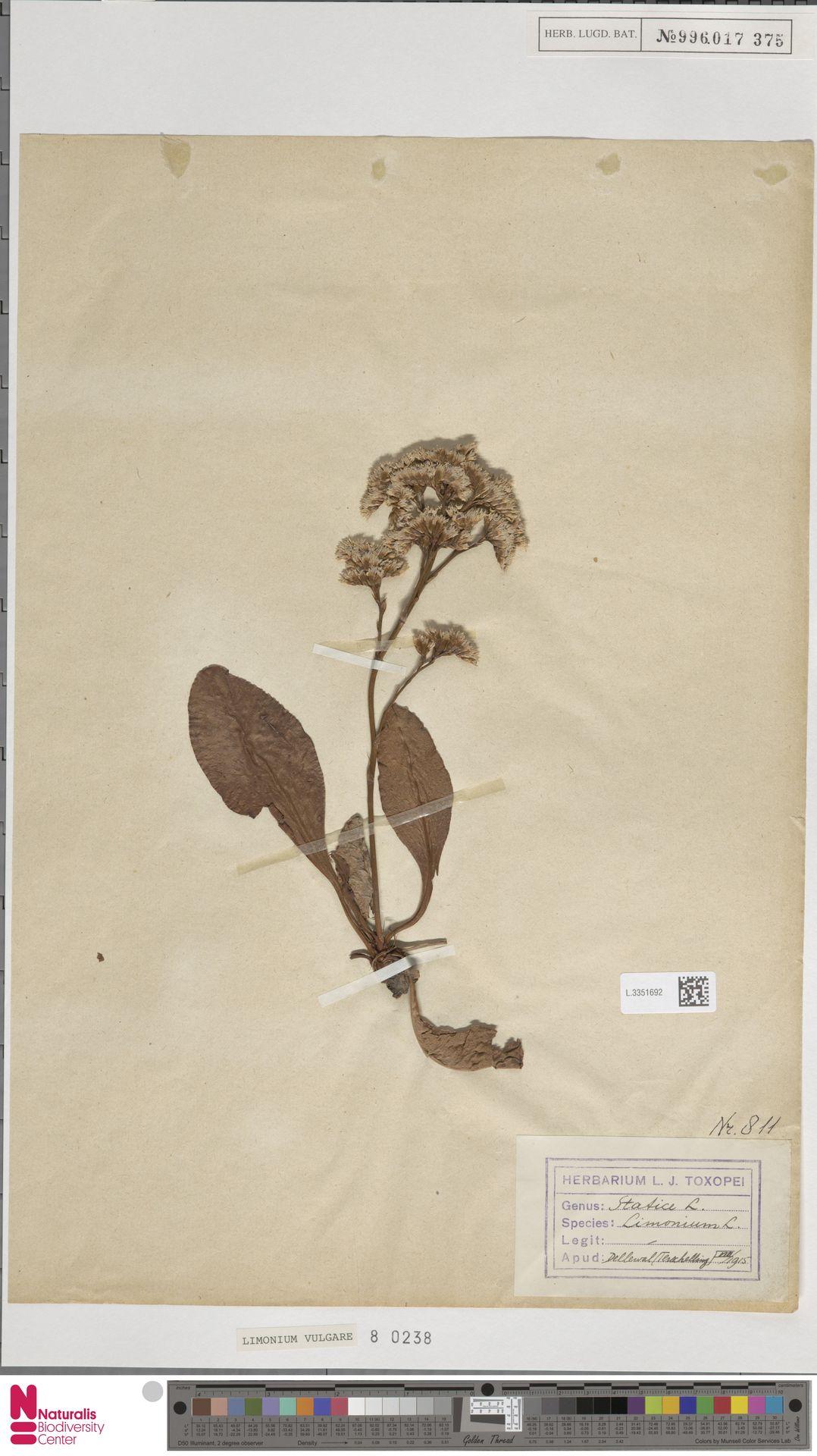 L.3351692 | Limonium vulgare Mill.