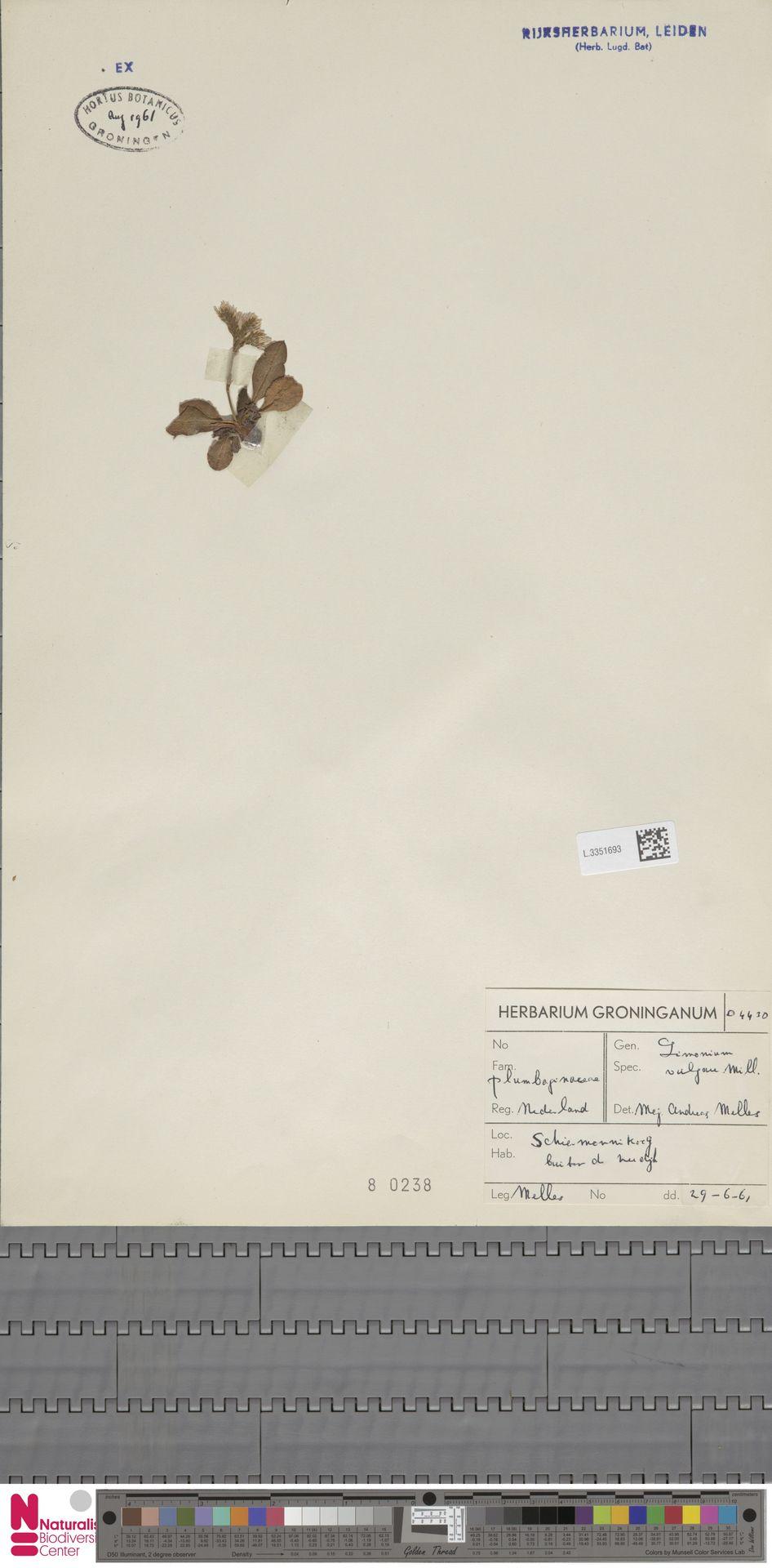 L.3351693 | Limonium vulgare Mill.