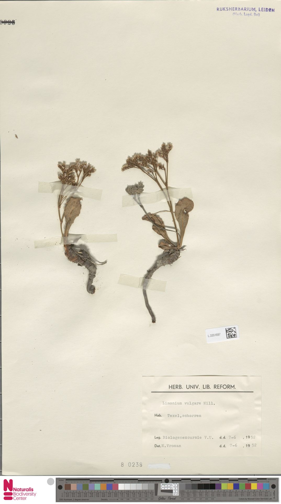 L.3351697 | Limonium vulgare Mill.